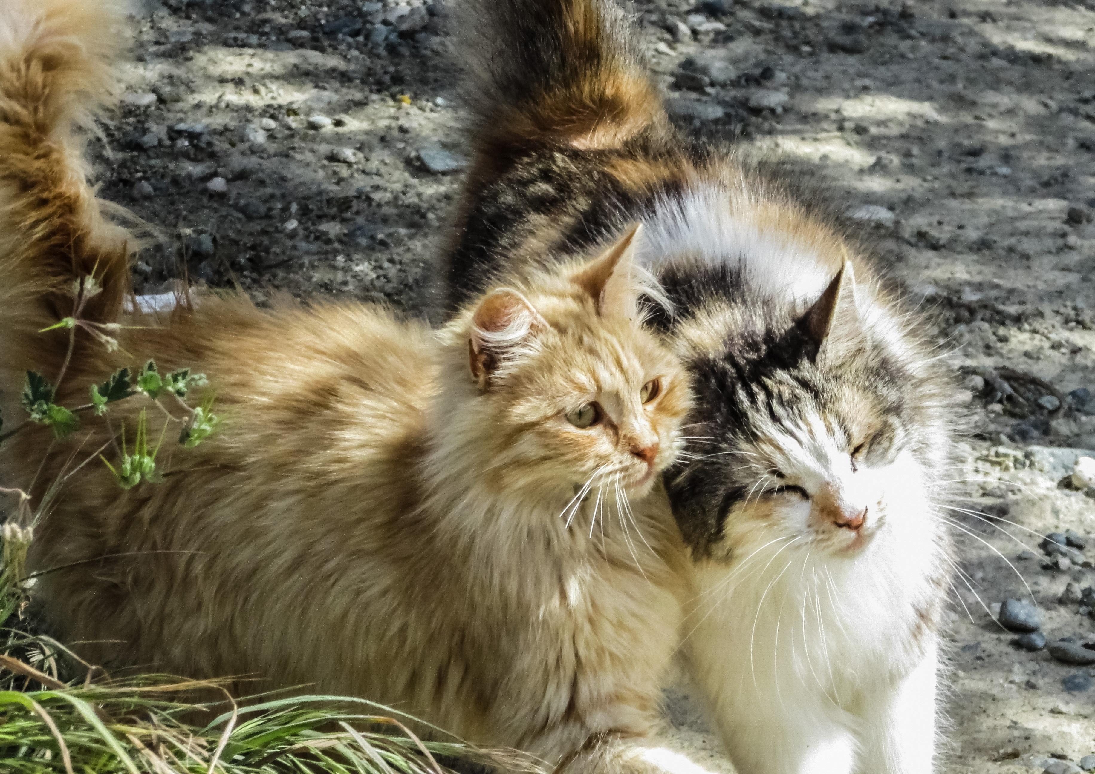 Картинка пара кошек
