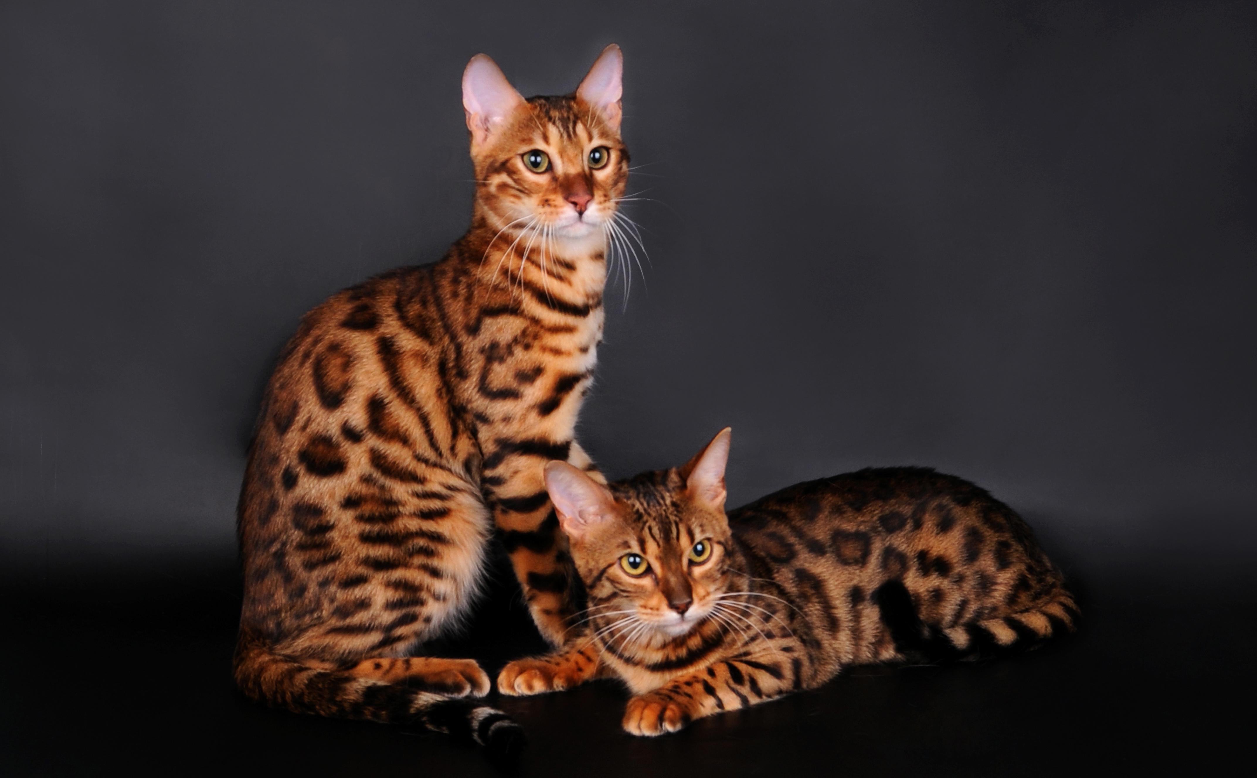 Обои на рабочий стол с бенгальскими кошками