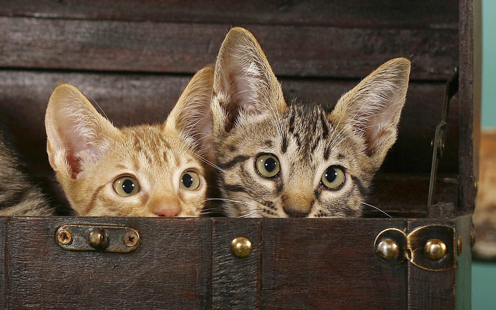 Wallpaper : sepasang, cambang, savannah, kucing garong