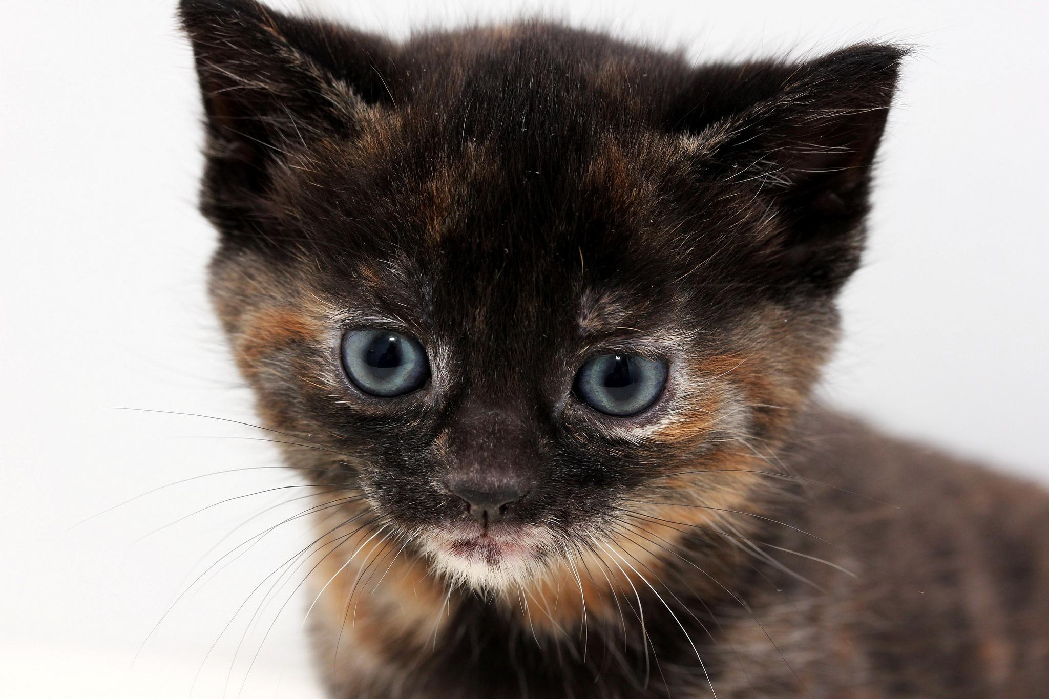 Fondos de pantalla : gato, Ojos, nariz, bigotes, Gato negro, color ...
