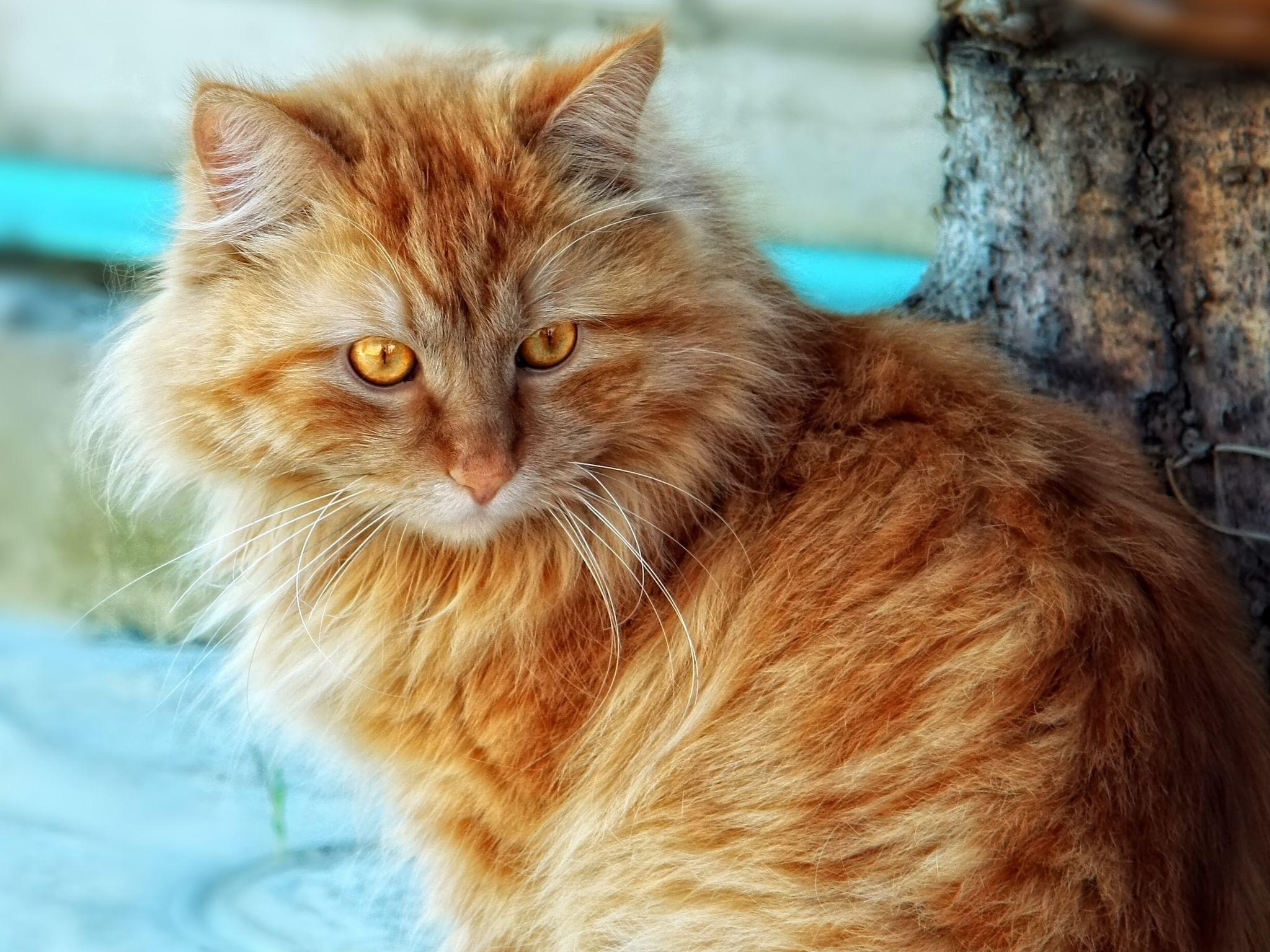 картинки рыжего кота пушистого живых