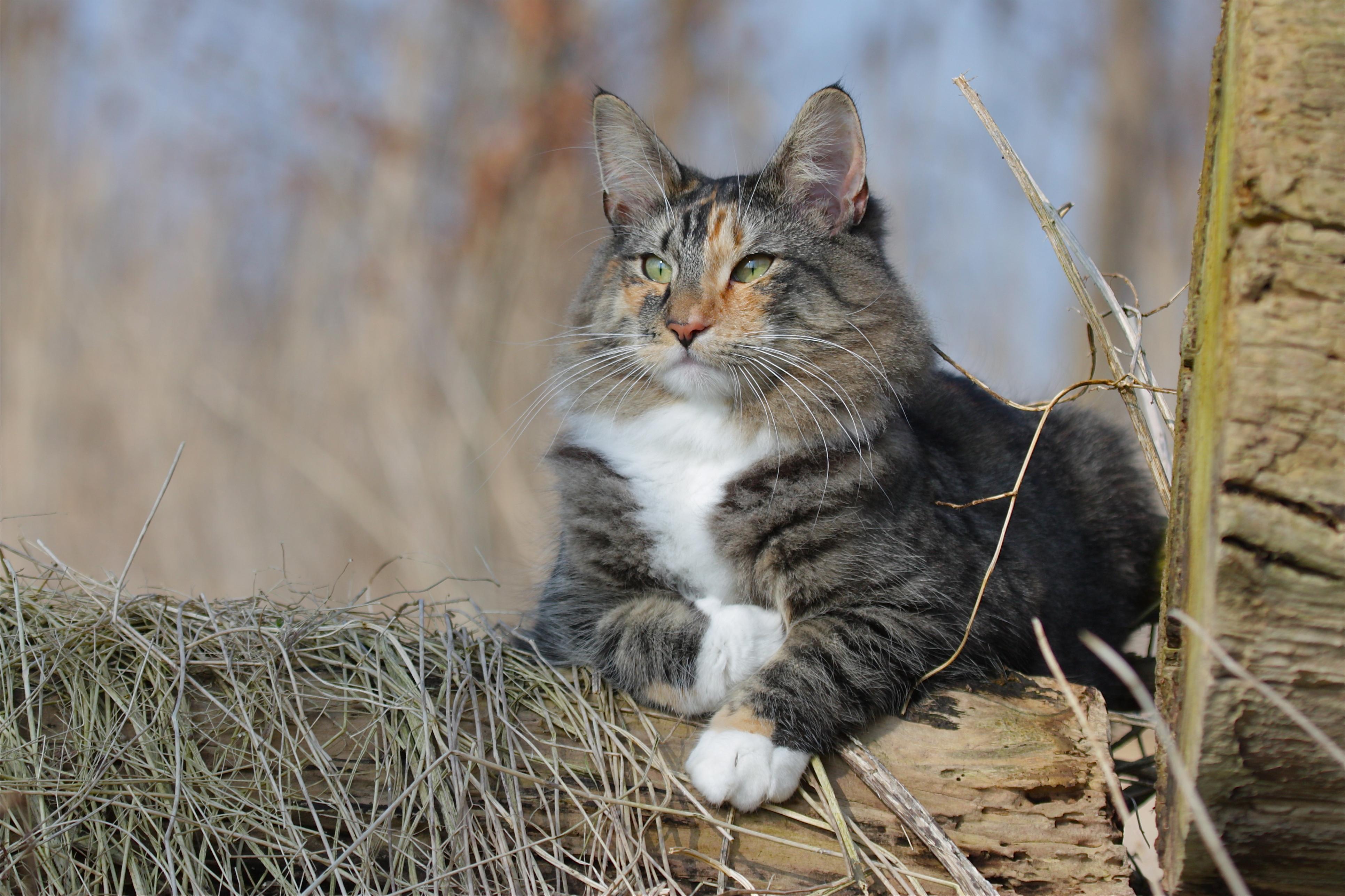 Sfondi erba natura barba gatto selvatico gattino for Gatto della foresta norvegese