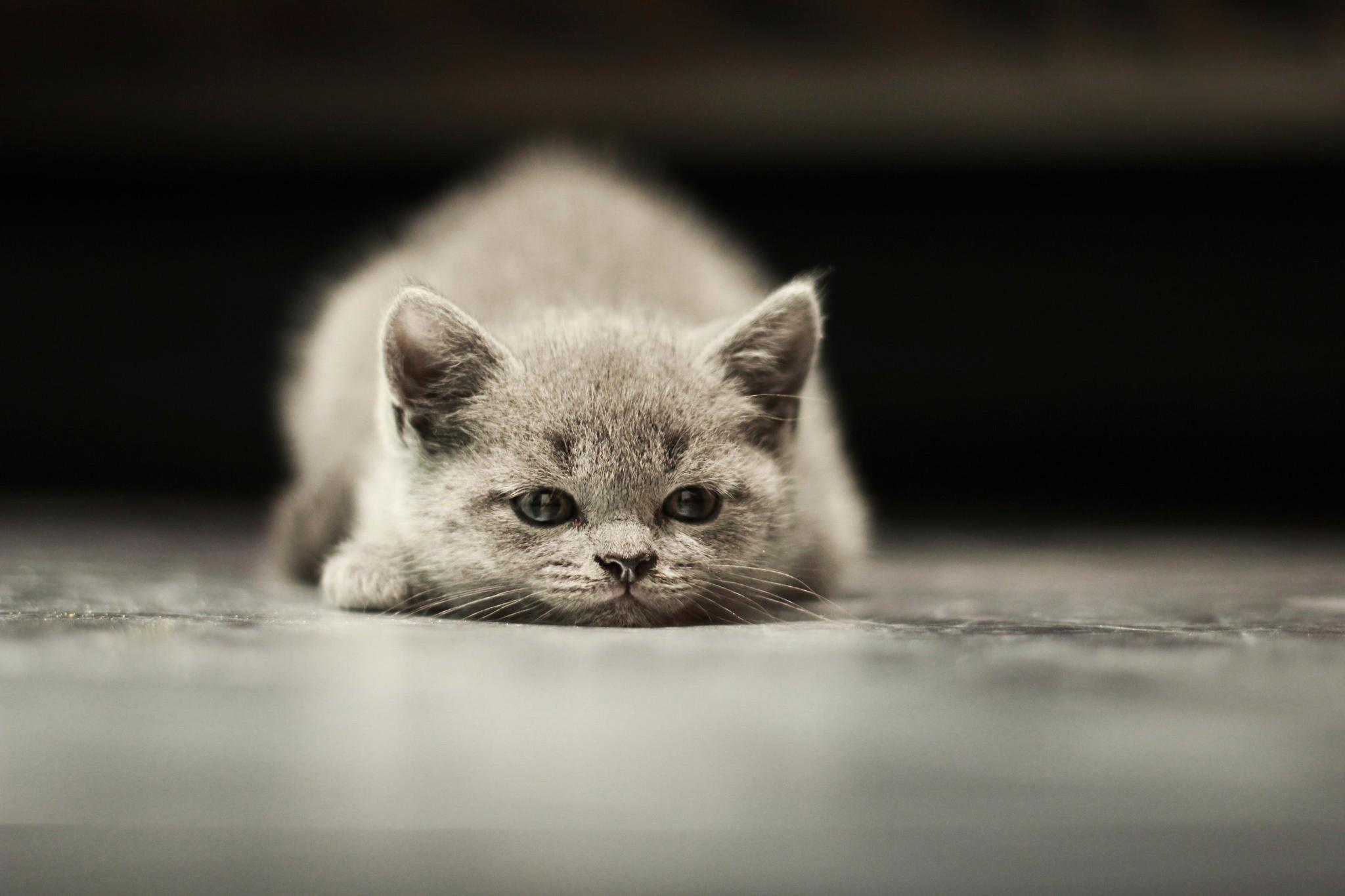 デスクトップ壁紙 ネコ モノクロ ウィスカー グレー 嘘つき 子猫 キッド 動物相 哺乳類 黒と白 脊椎動物 閉じる 哺乳動物のような猫 中型から中型の猫 カルニボラン 48x1365 Goodfon 5568 デスクトップ壁紙 Wallhere