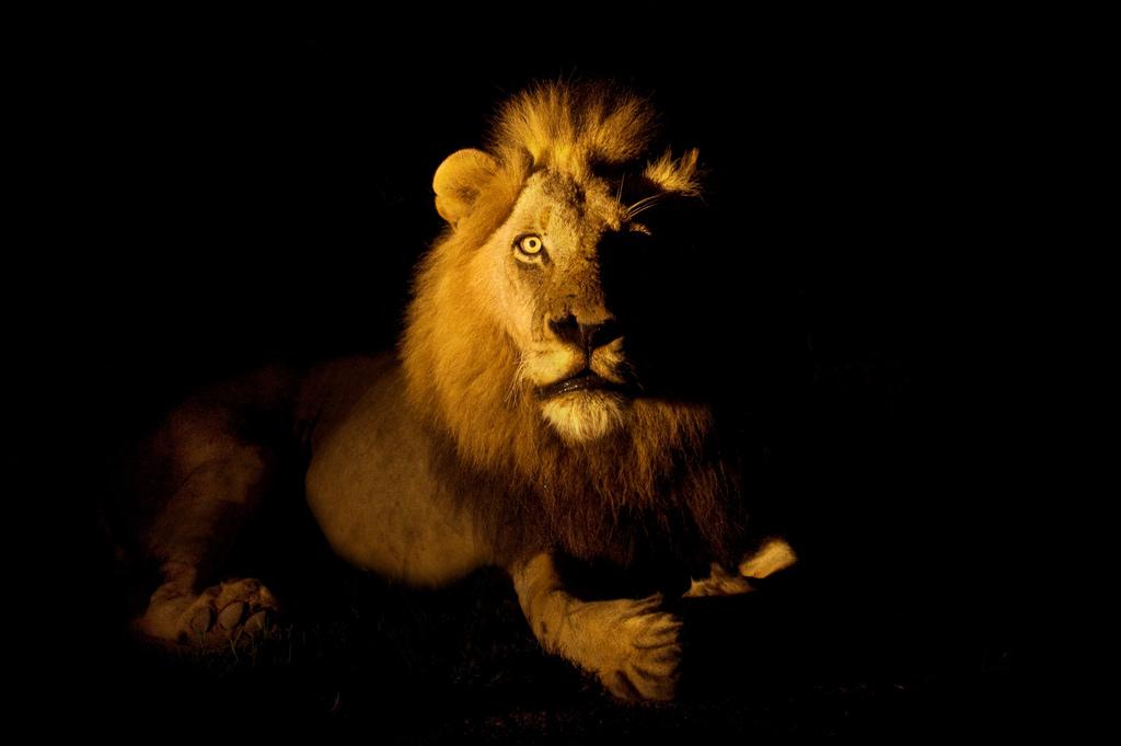 Best Wallpaper Night Lion - cat-night-nature-lion-wildlife-Africa-big-cats-whiskers-roar-wild-darkness-Safari-predator-male-fauna-mammal-specanimal-fear-searchthebest-southafrica-computer-wallpaper-cat-like-mammal-snout-carnivoran-organism-bigcat-mapocho-malamala-rattray-hvhe1-hennievanheerden-mlowathi-eyrefield-872538  You Should Have-234084.jpg