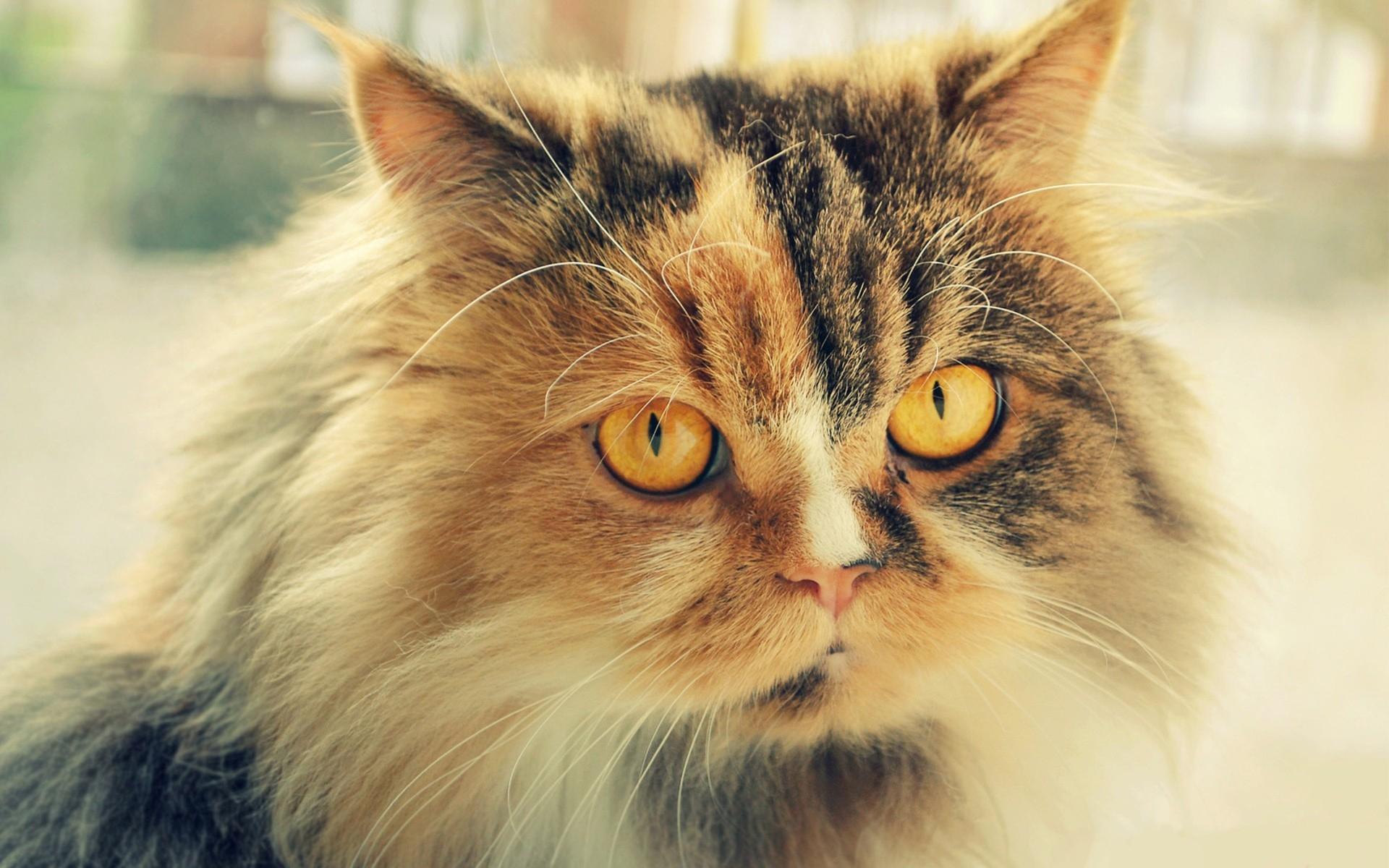 Картинка пушистая кошка