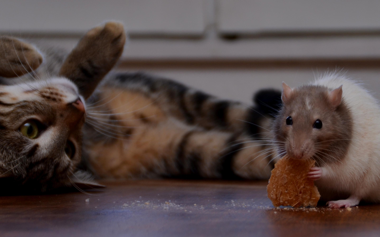 Картинка котенка с мышкой