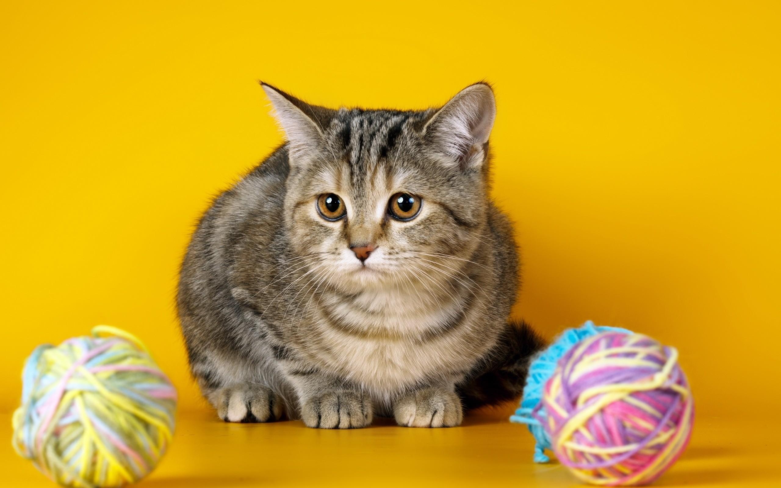 Wallpaper Sadness Whiskers Photoshoot Kitten Vertebrate Cat