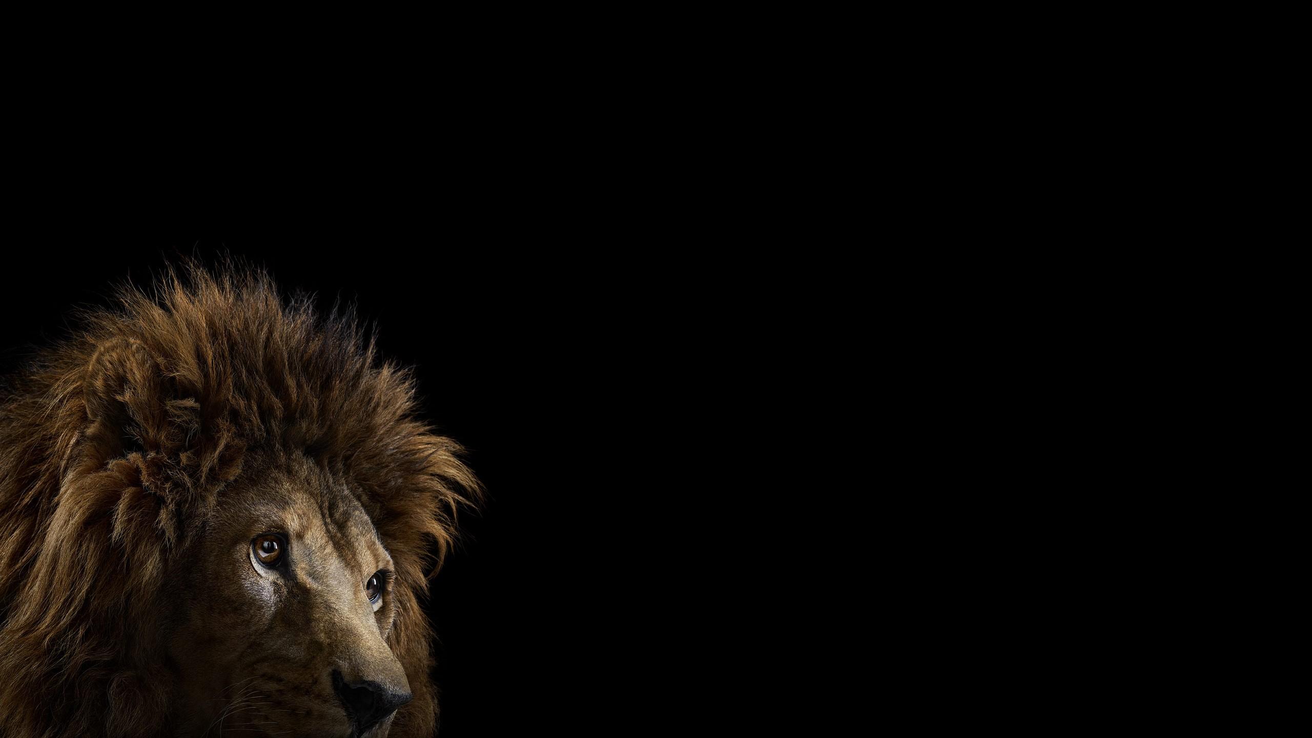 Fond Décran Chat Fond Simple La Photographie Lion