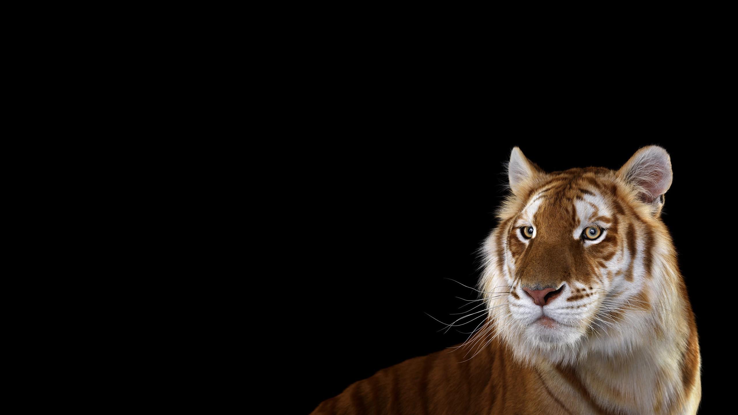 Fond Décran Chat Fond Simple La Photographie Tigre