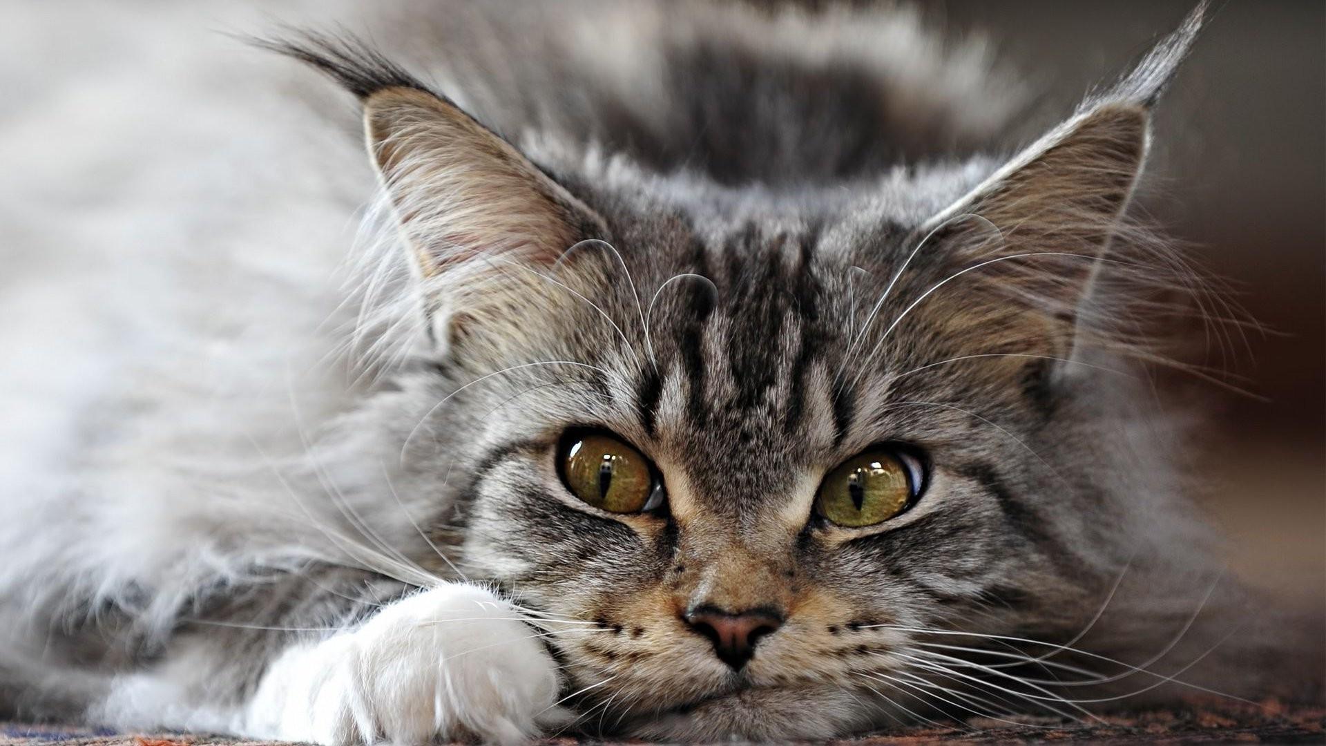 Sfondi barba maine coon gatto selvatico fauna for Gatto della foresta norvegese