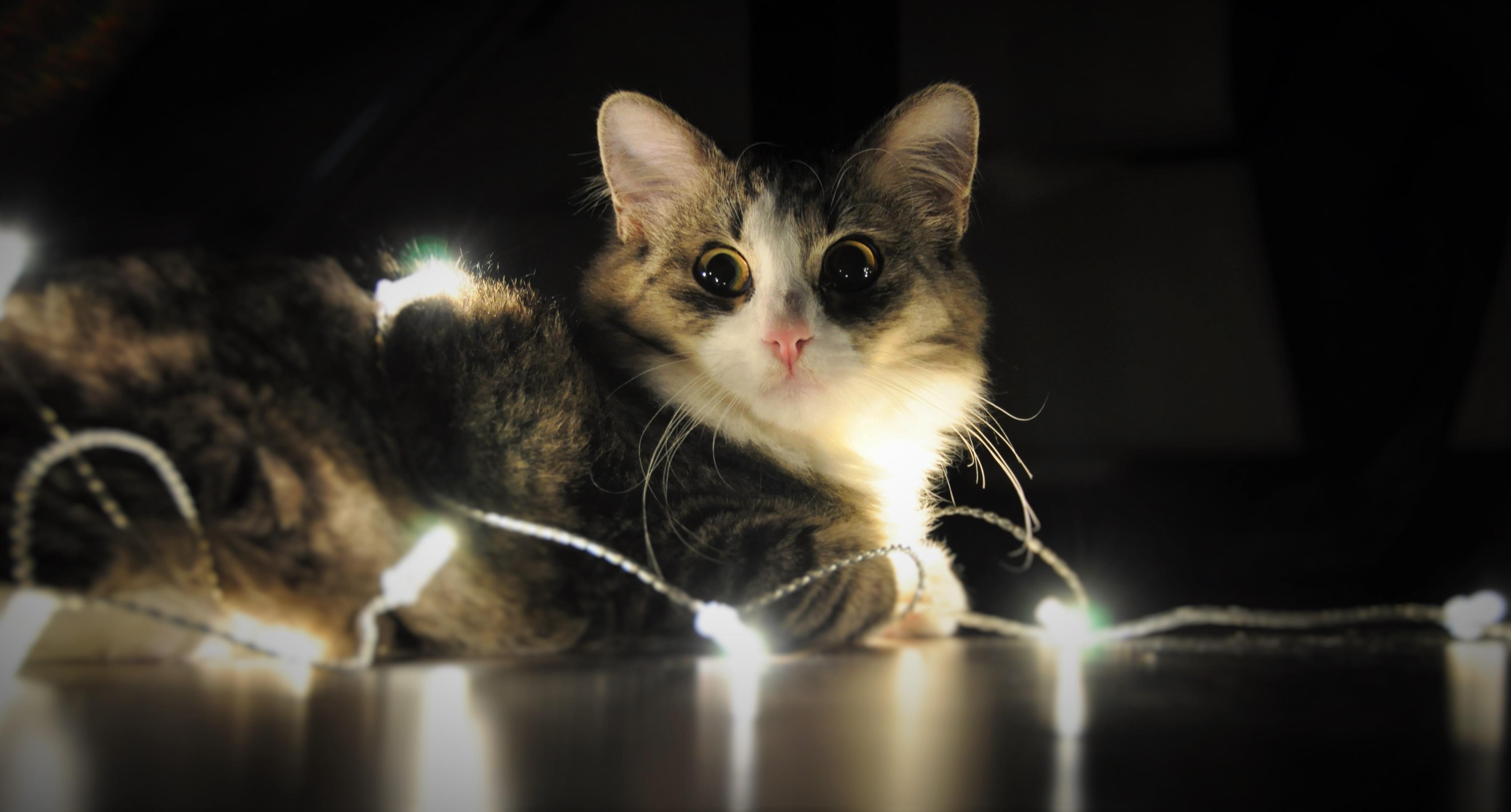 Wallpaper : whiskers, New Year, kitten, vertebrate, cat like