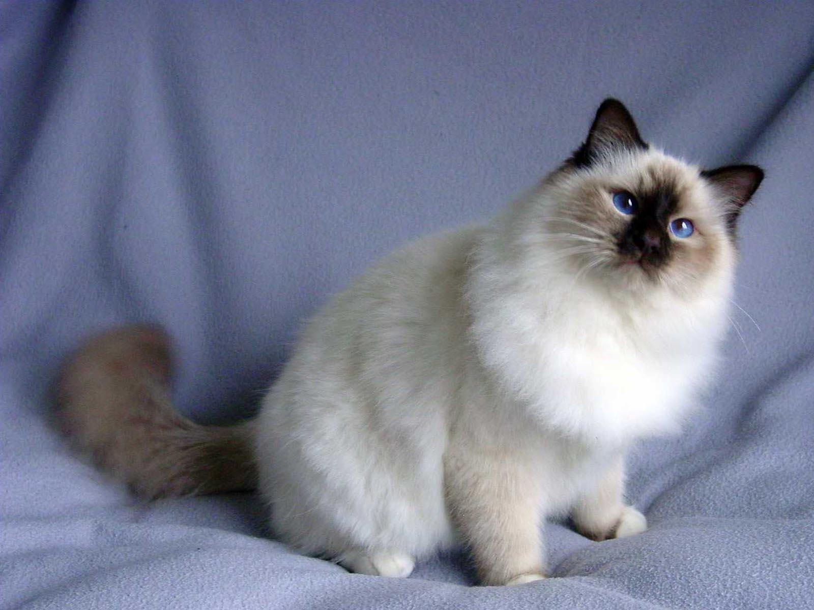 коты сибирская бирма количество шкафчиков