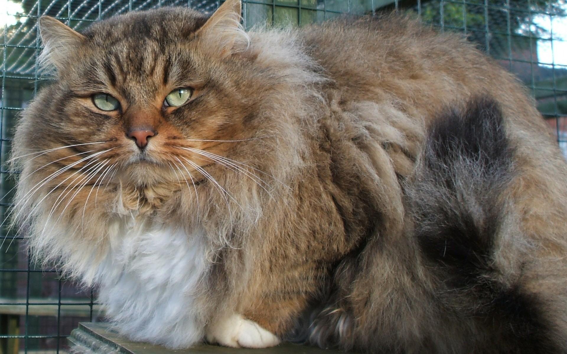 Sfondi barba lana grasso soffice fauna sedersi for Gatto della foresta norvegese
