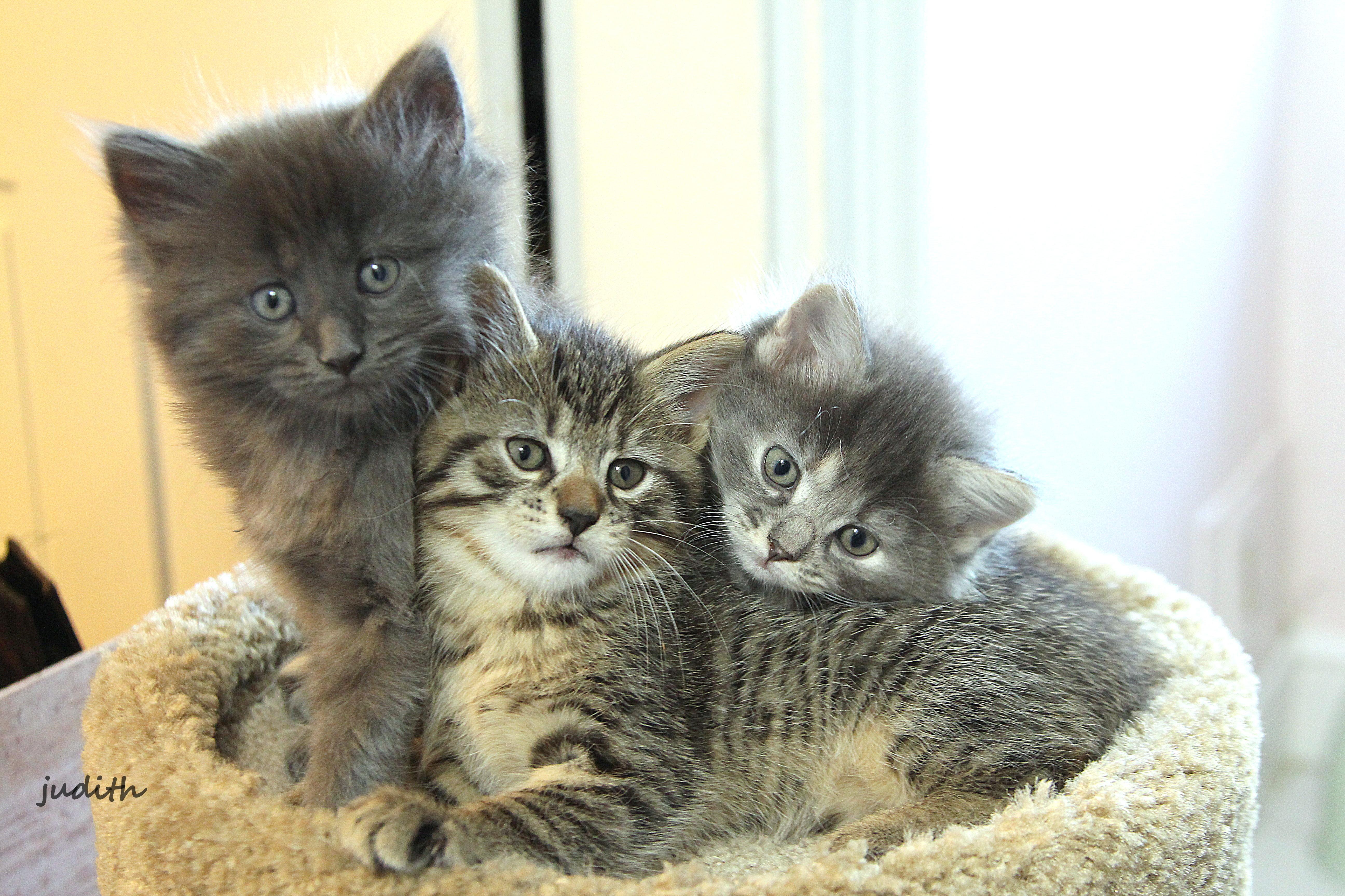 cats kittens felines longhairedgreykitten browntabby longhaireddilutedtortiseshellkitten fuzzy cute ozzie dora vinny
