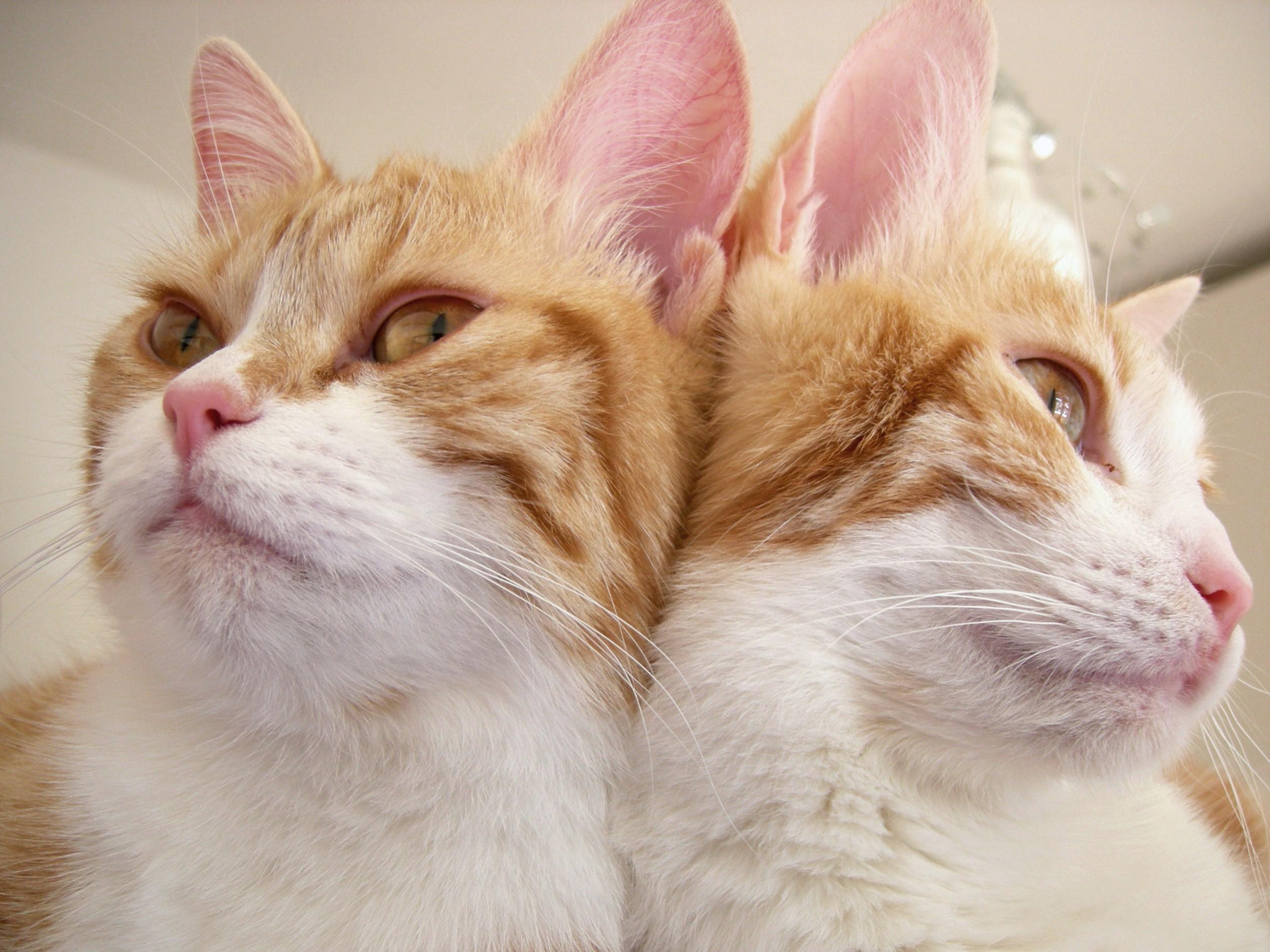 Прикольные картинки кошек сиамские близнецы