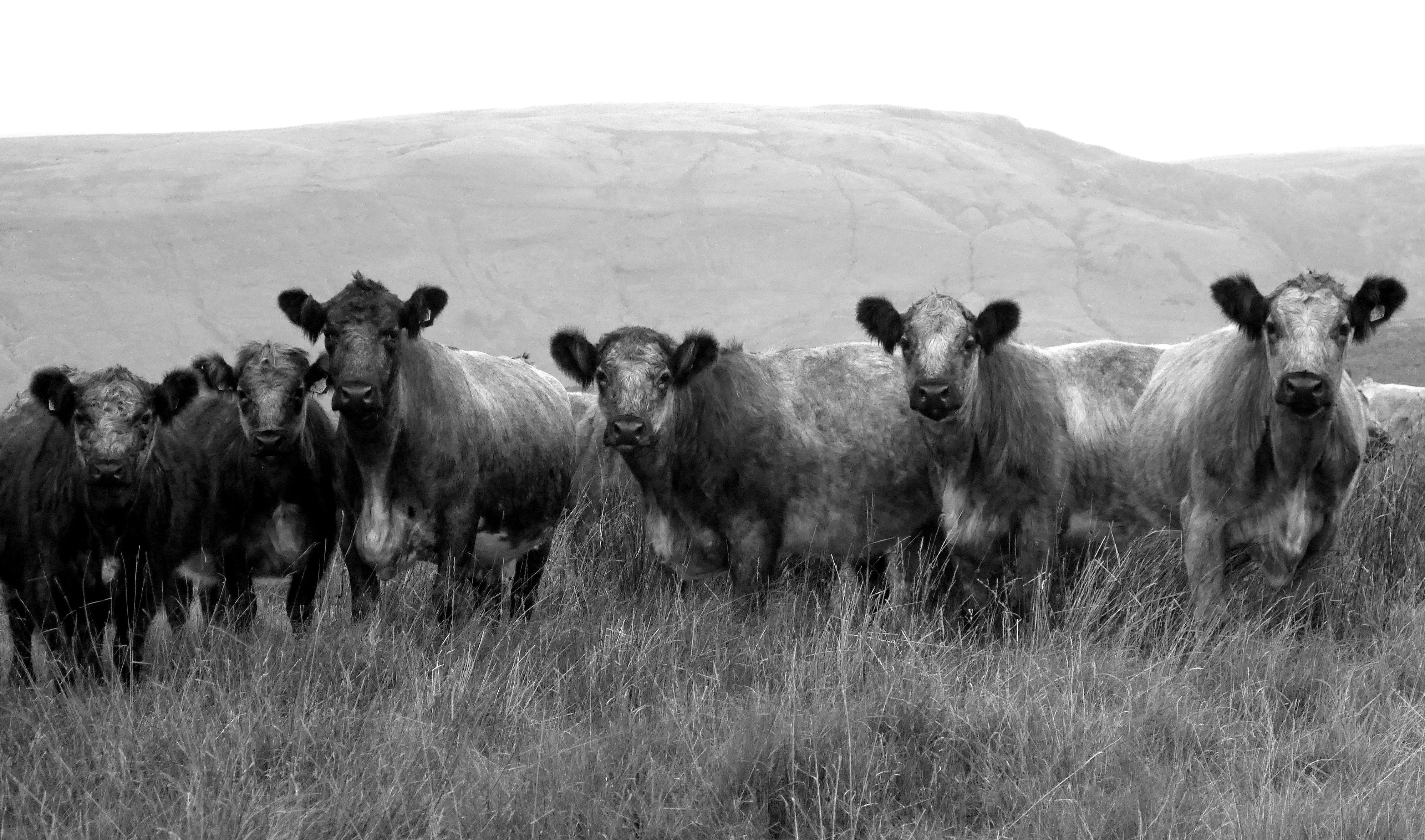 Wallpaper Cattle Like Mammal Black And White Wildlife Monochrome Photography Grassland Fauna Herd Pasture Grass Cow Goat Family Grazing Rural Area Livestock Sky Ranch Ecoregion Dairy Cow Calf Prairie 3995x2356