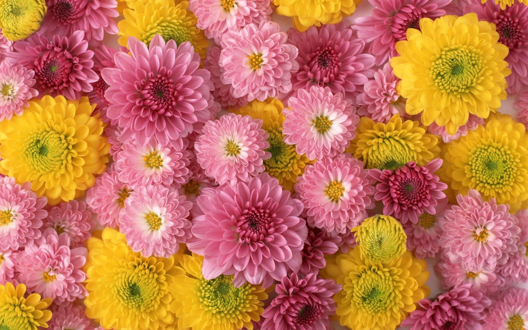 Wallpaper chrysanthemums flowers buds yellow pink composition chrysanthemums flowers buds yellow pink composition mightylinksfo Gallery