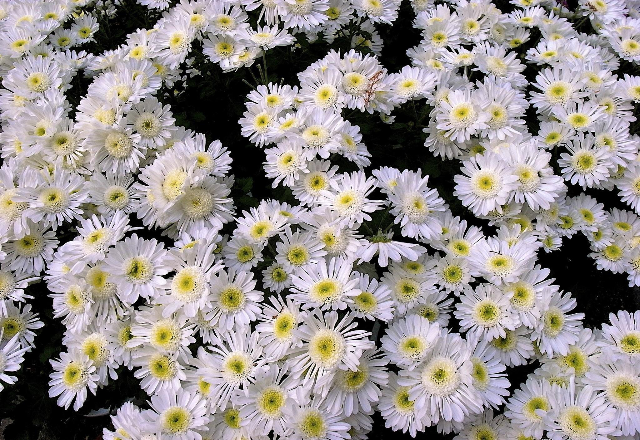 Wallpaper : krisan, bunga-bunga, putih, banyak 2048x1410