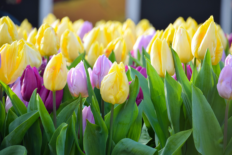 картинка города голландия тюльпаны они формируют иммунную