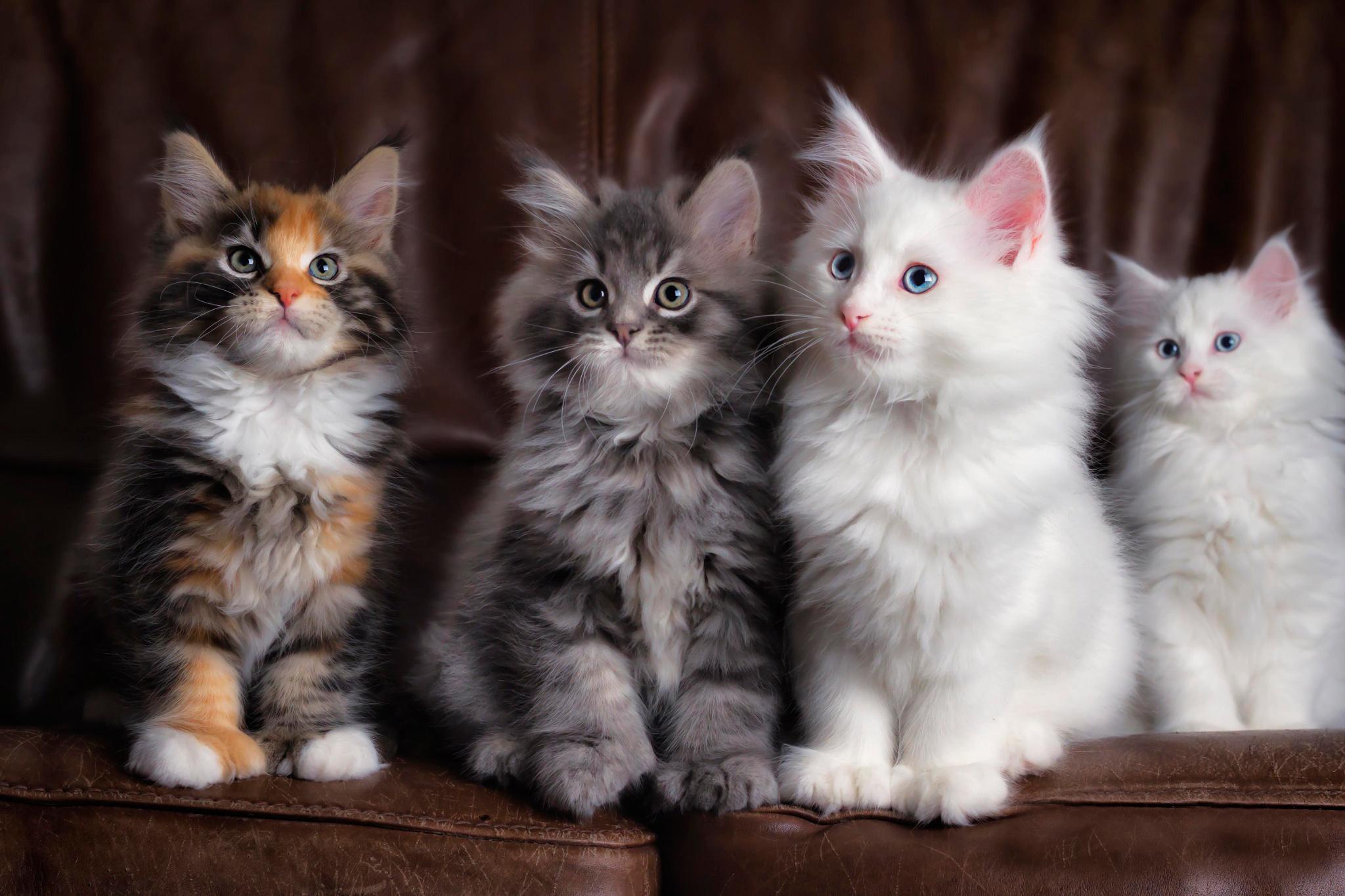 デスクトップ壁紙 カラフル ネコ 子猫 ウィスカー 可愛い