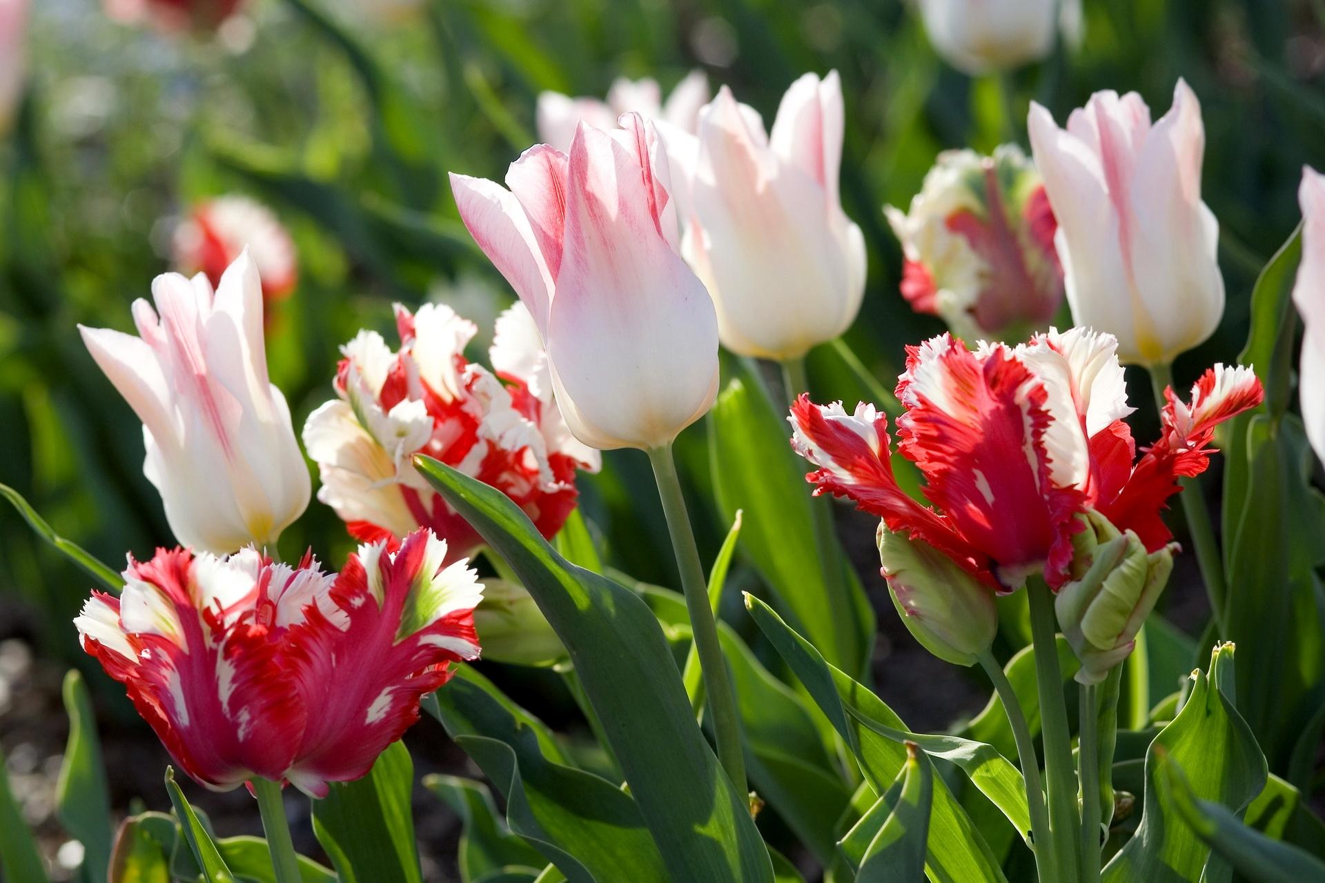 Картинки тюльпанов фото