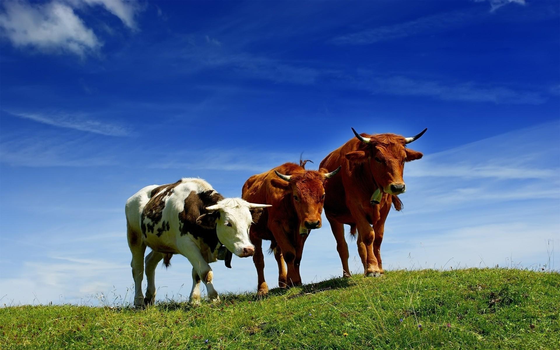 картинки стадо быков девушки