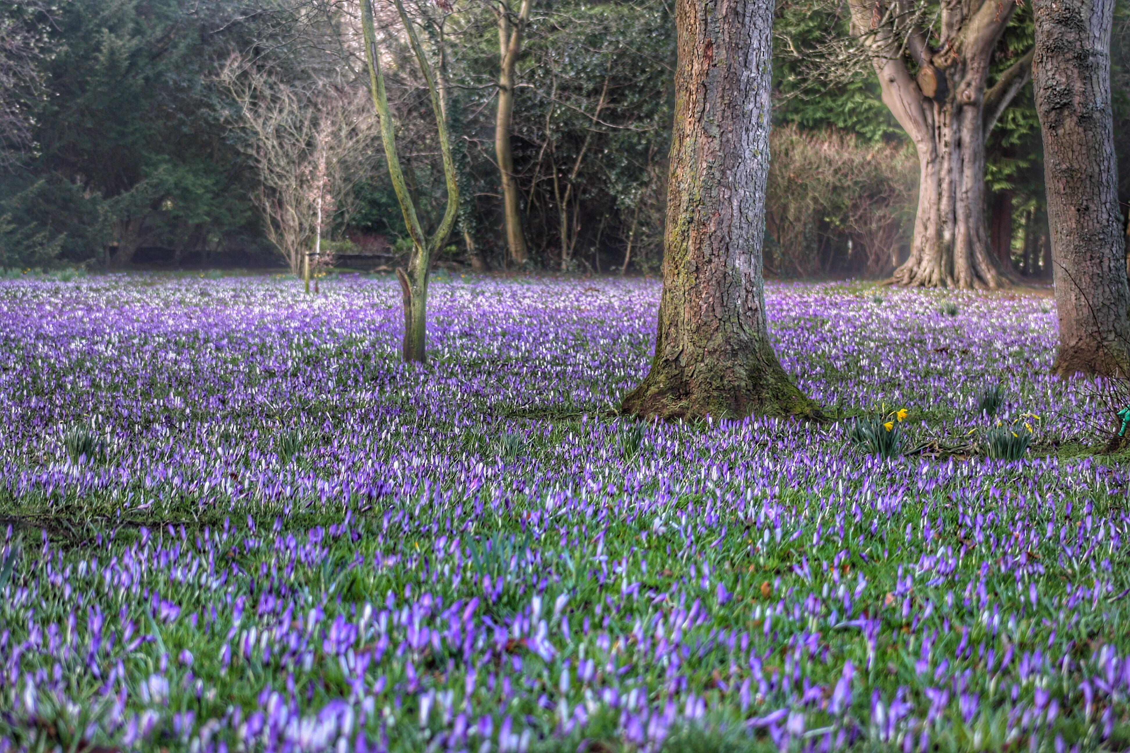 Fiori Gialli Scozia.Sfondi Crochi Tappeto Alberi All Aperto Fiori Petali Viola