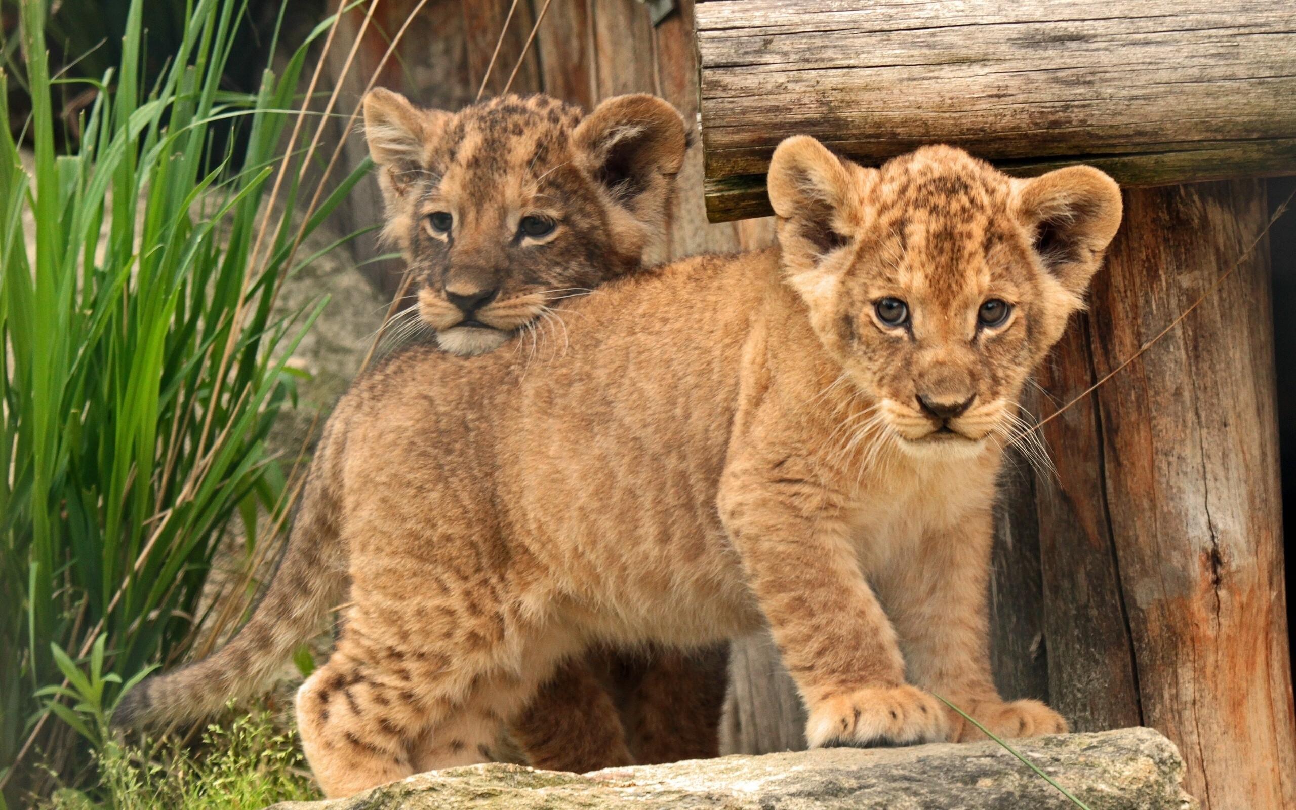Fond Décran Lionceau Bébé Des Gamins Lion 2560x1600