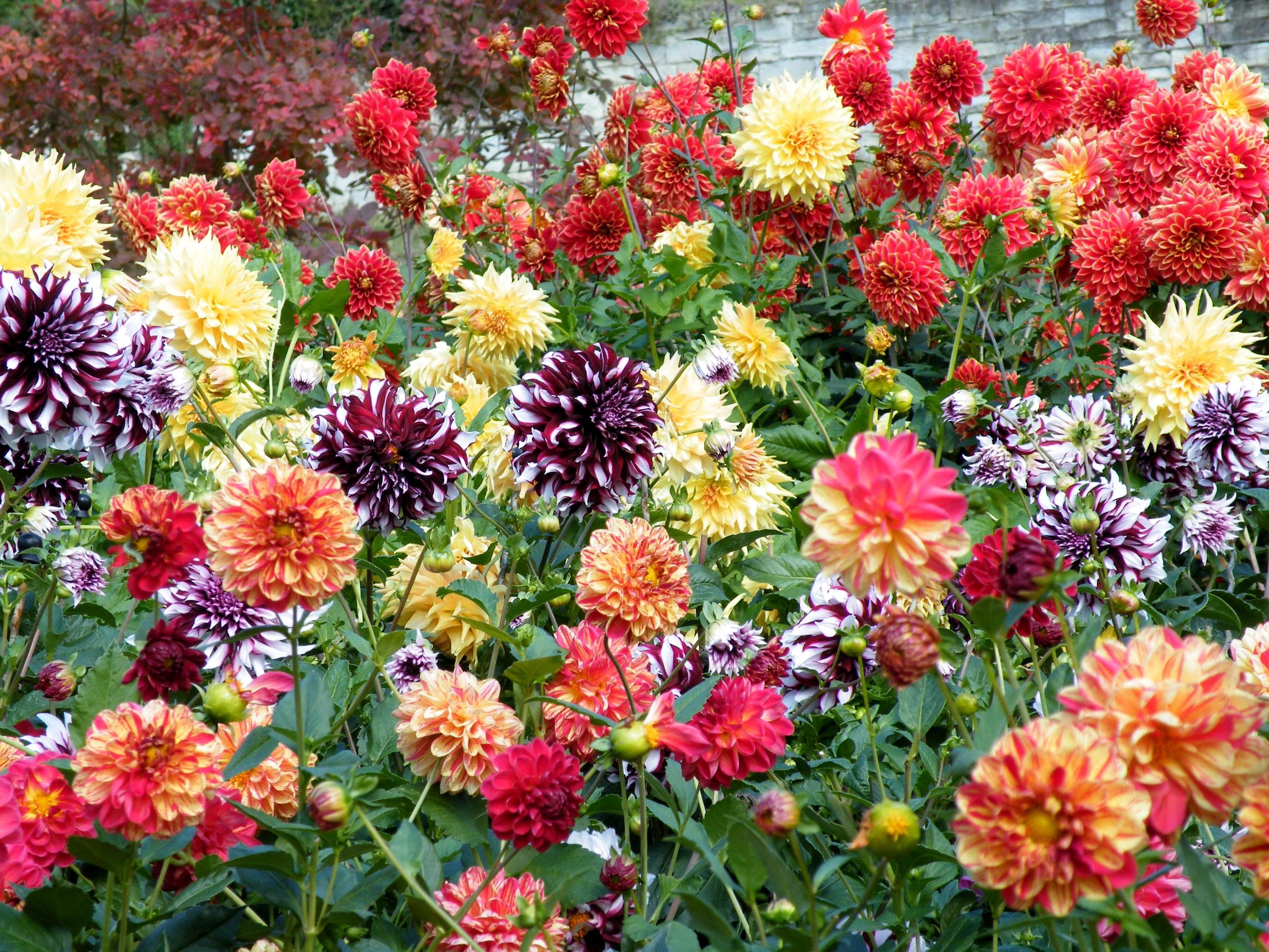 приема позволит георгин фото цветов в саду таком