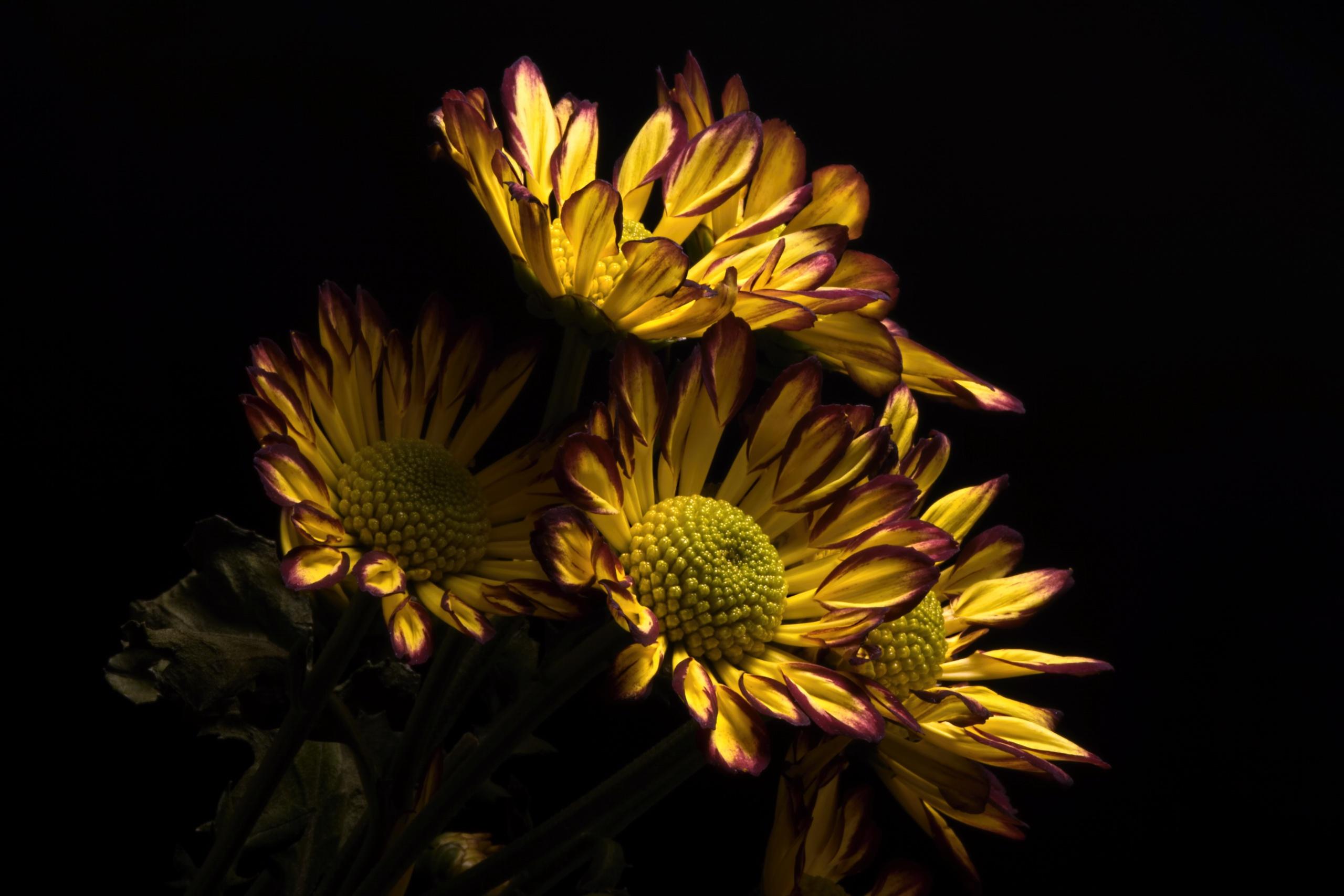 Wallpaper dark yellow flowers plants 2560x1707 wallpapermaniac dark yellow flowers plants flowers mightylinksfo