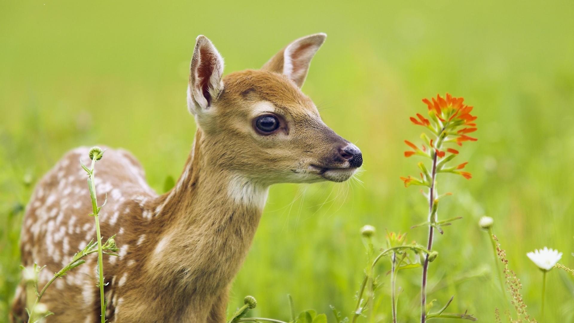 Deer Nature Animals Fawns Baby Animals Wallpapers Hd: Wallpaper : Nature, Wildlife, Baby Animals, Whiskers