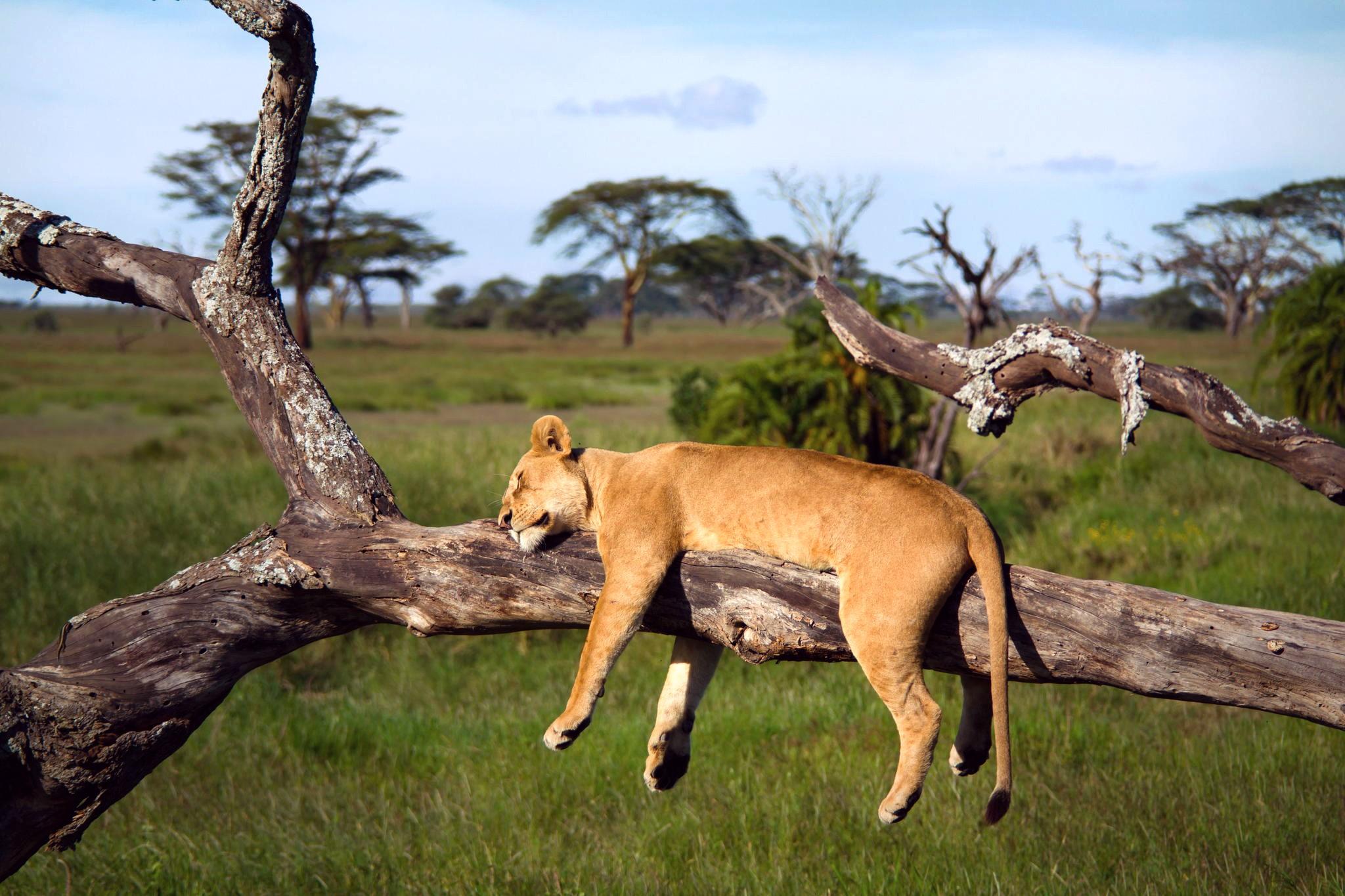 https://get.wallhere.com/photo/deer-animals-nature-sleeping-lion-wildlife-impala-Safari-fauna-mammal-savanna-white-tailed-deer-288823.jpg