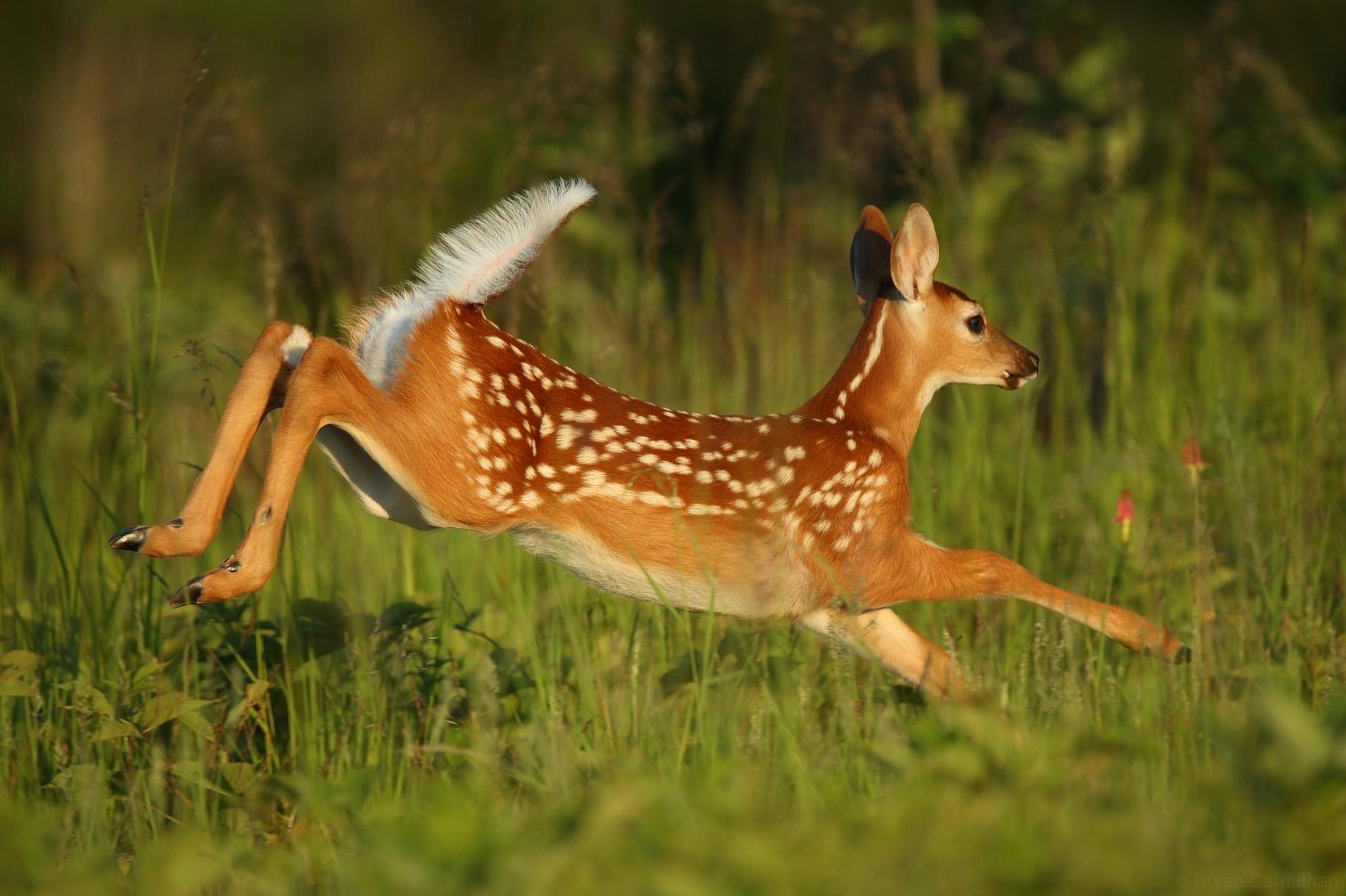5400 Koleksi Gambar Binatang Kijang HD Terbaik