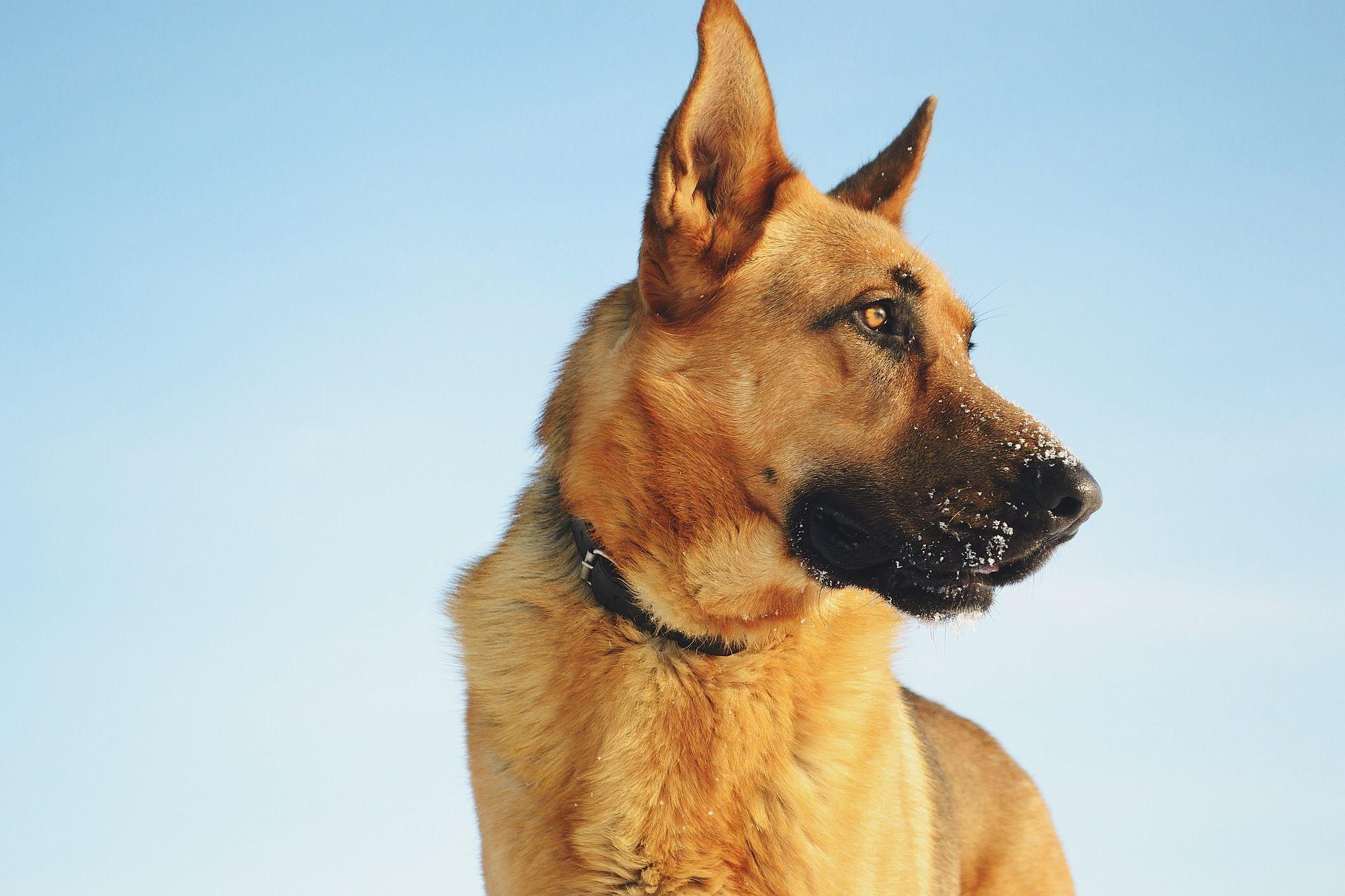 обои : собака, Немецкая овчарка 1920x1280 - thrinos ...