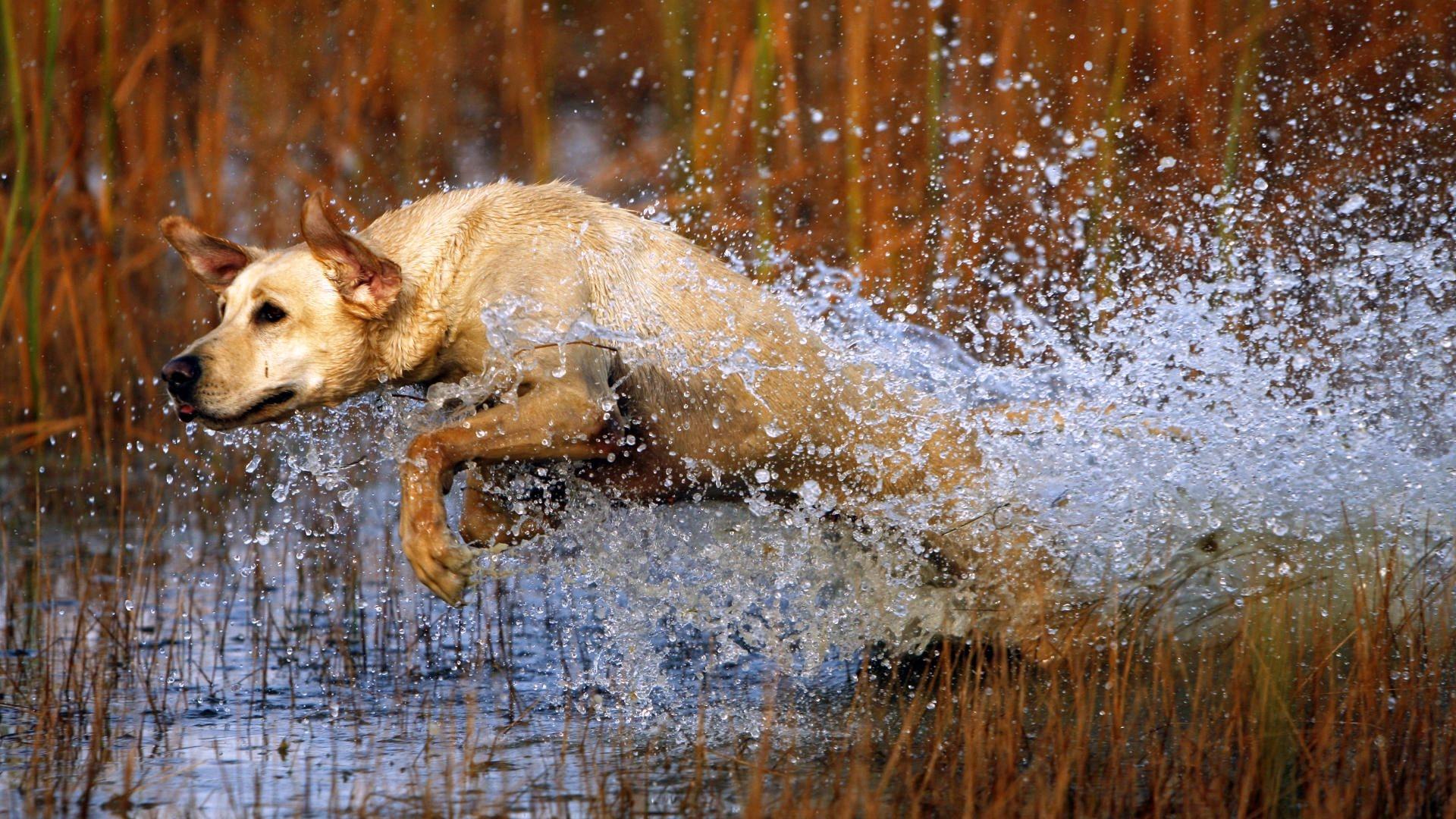 Wallpaper dog Labrador jump water grass hunting