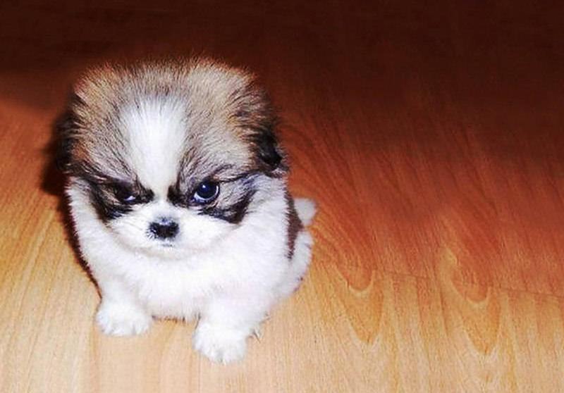 Wallpaper Pomeranian Bulldog Shih Tzu Puppy Dogs Vertebrate