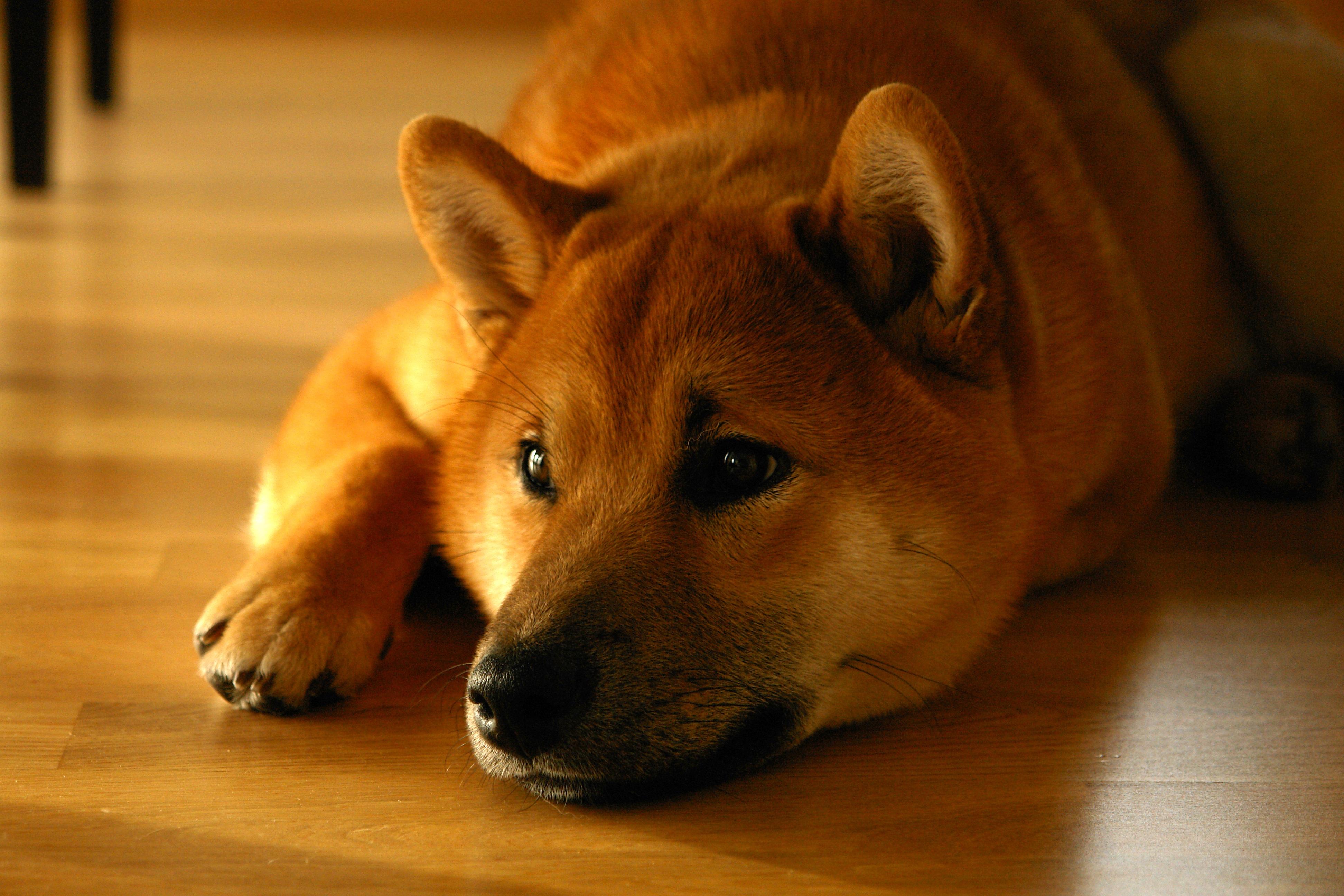 デスクトップ壁紙 柴犬 鼻 嘘 子犬 脊椎動物 閉じる 哺乳類の