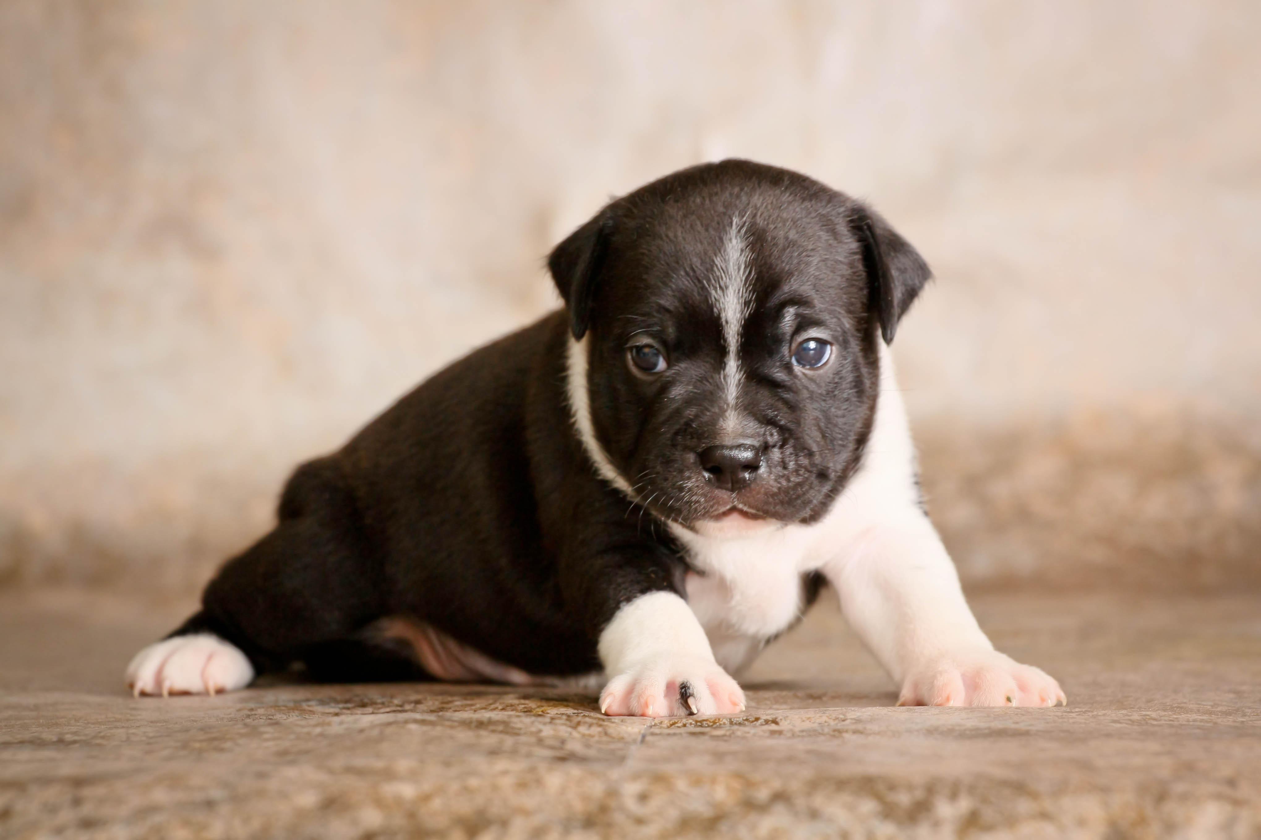 Wallpaper Baby French Bulldog Cute Puppy Vertebrate Dog Like
