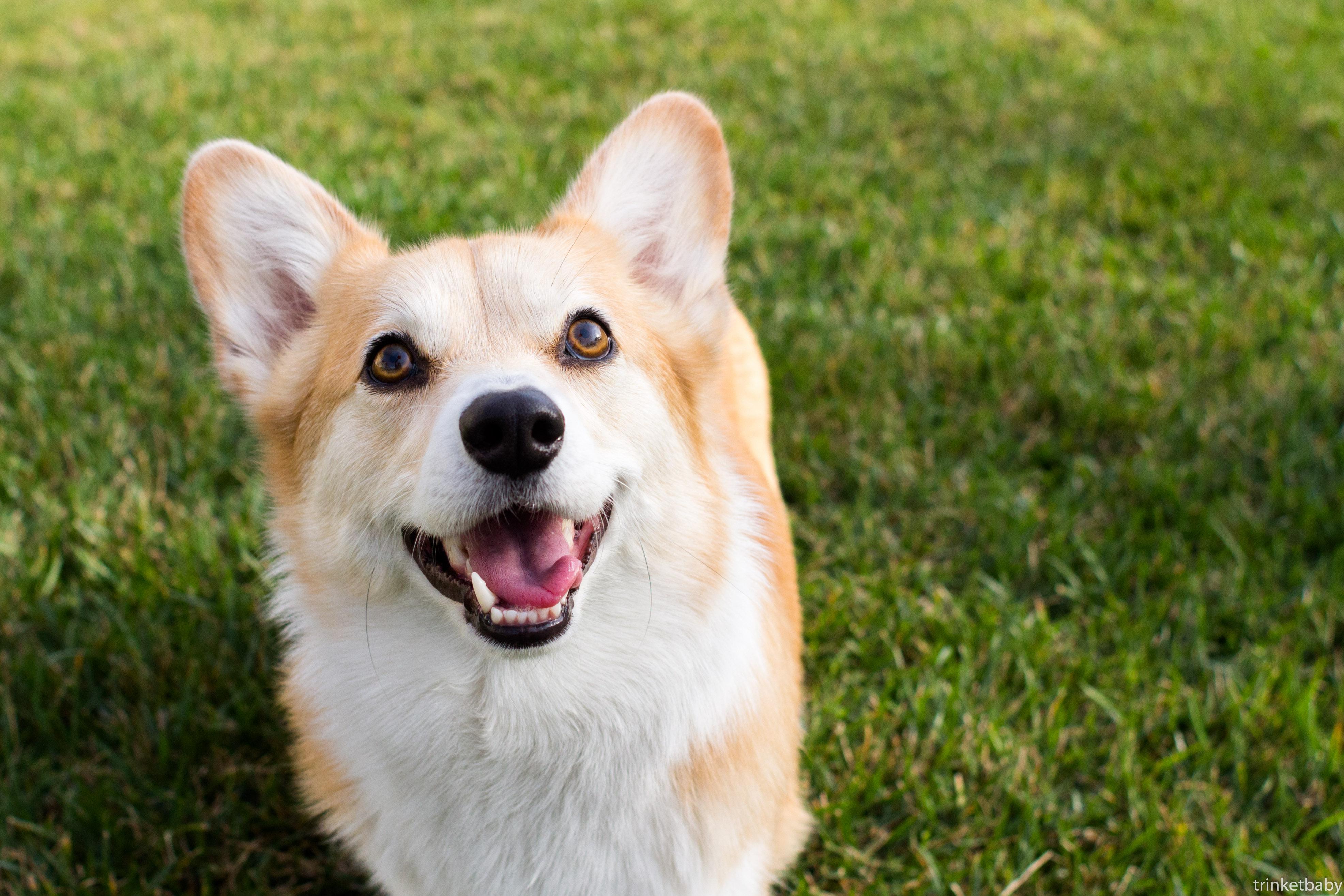 デスクトップ壁紙 哺乳類のような犬 犬種 ペンブローク ウェールズ コーギー 犬の品種グループ 鼻 草 カーディガンウェールズコーギー アイスランドのシープドッグ Companion Dog カルニボラン ウィスカー 犬の交雑 3944x2629 4119 デスクトップ