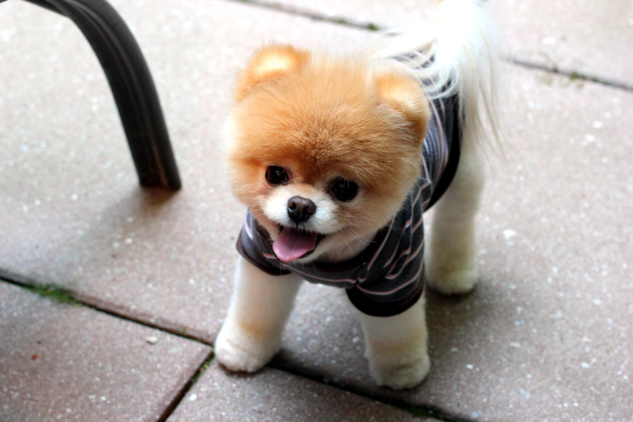 犬 子犬 ポメラニアン ブー チワワ 哺乳類 脊椎動物 哺乳類のような犬 犬の品種