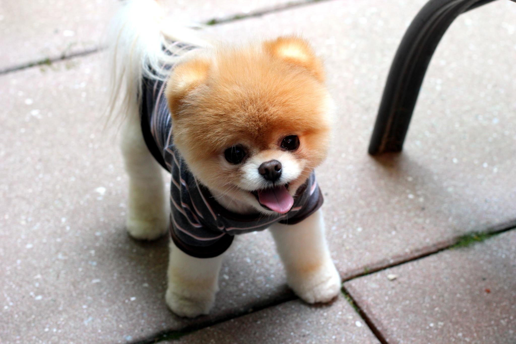 犬 子犬 ポメラニアン チワワ 哺乳類 2048x1365 px 脊椎動物 哺乳類のような犬 犬の