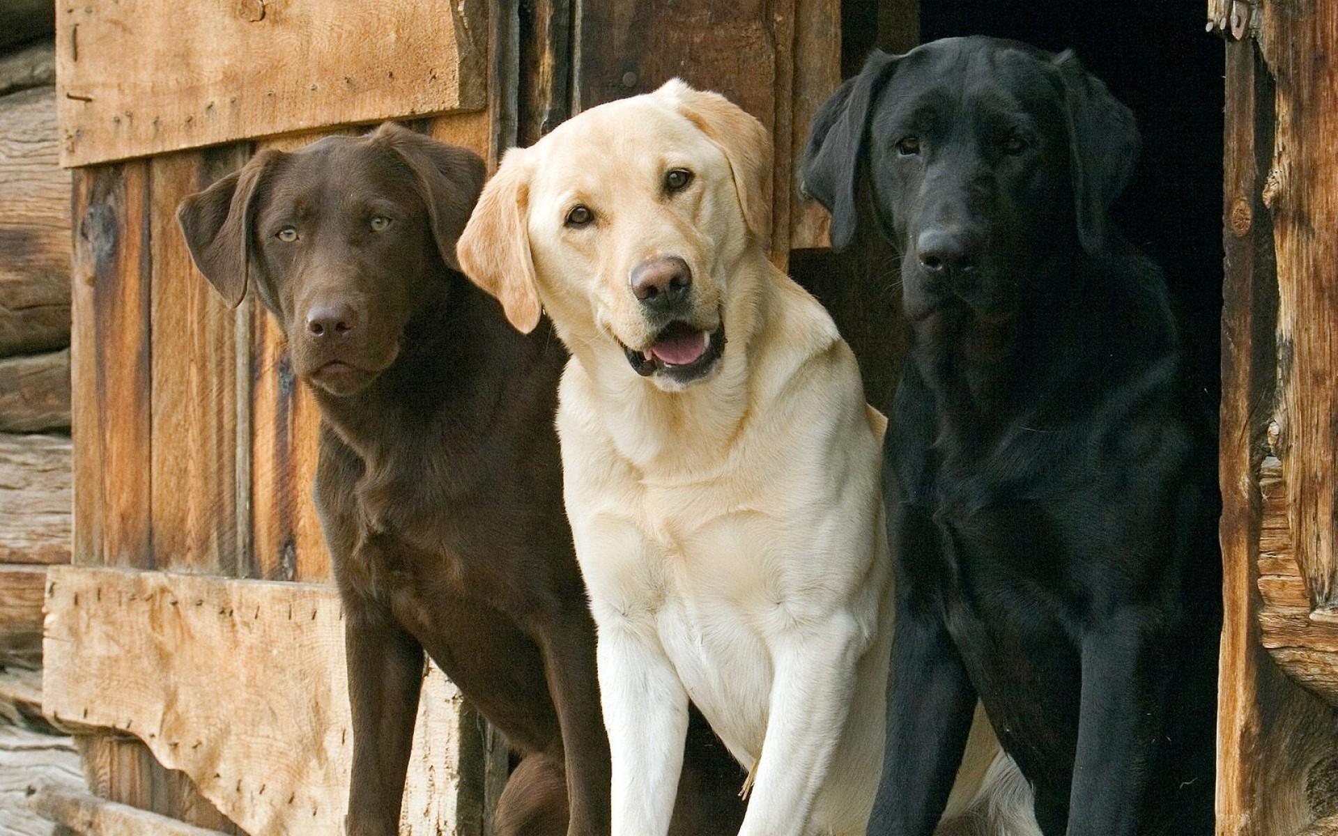 Labrador Retriever: Razza - Descrizione - Carattere - Cuccioli - Foto 96