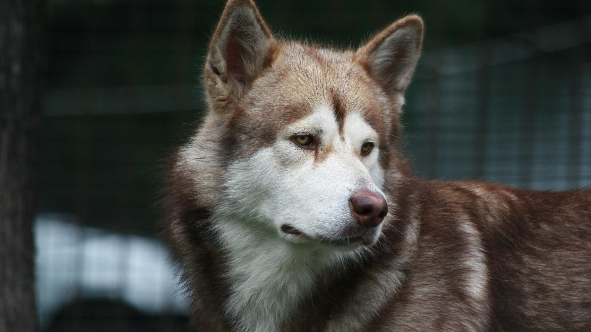 1080 Huky Puppies: Tapety : Pes, Vlk, Sibiřský Husky, 1920x1080 Px