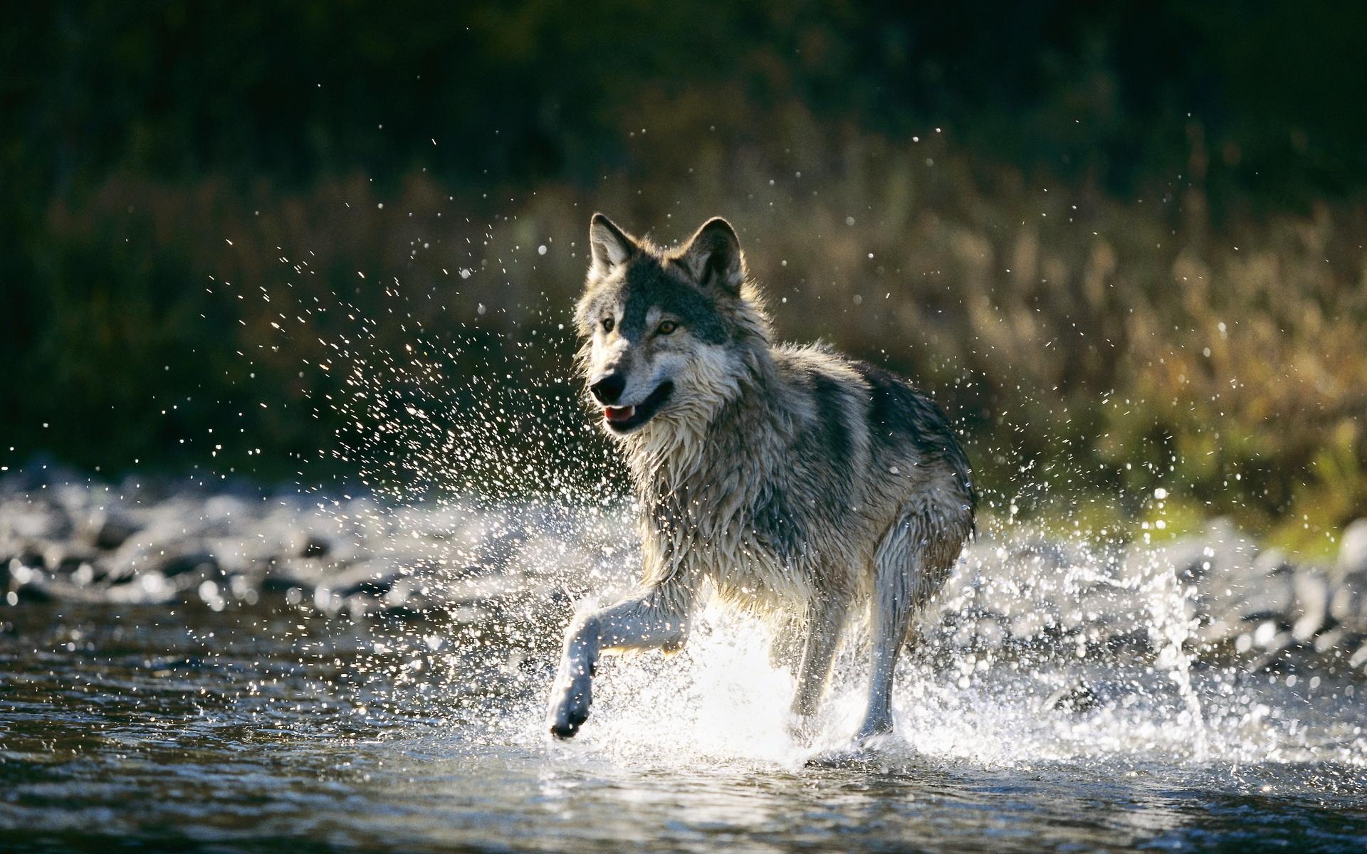 Картинки волков и зайцев нет