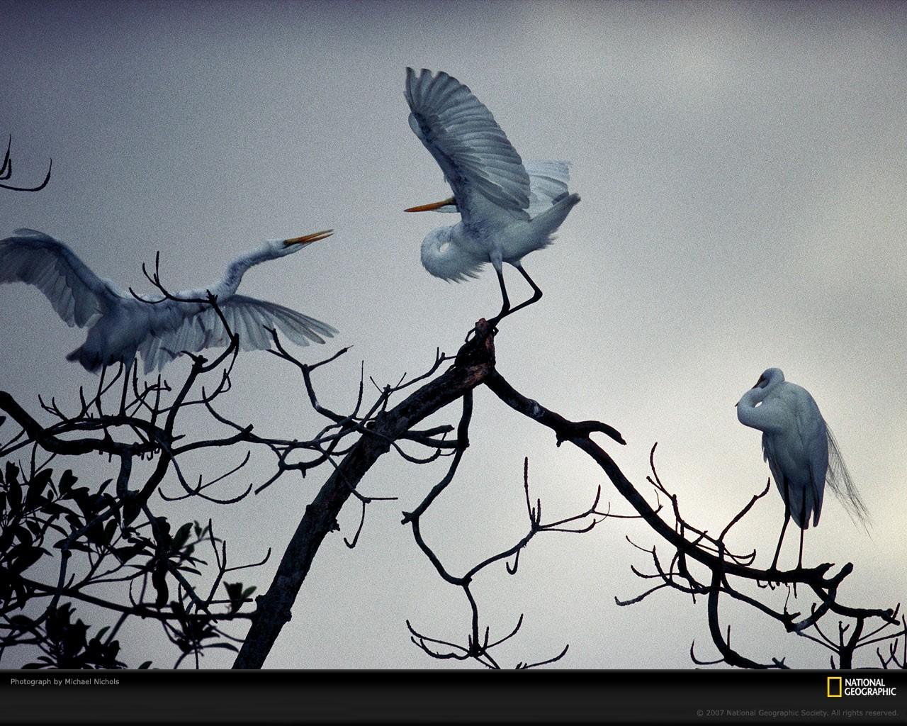 Wallpaper Drawing Birds Animals Branch Blue Raven National