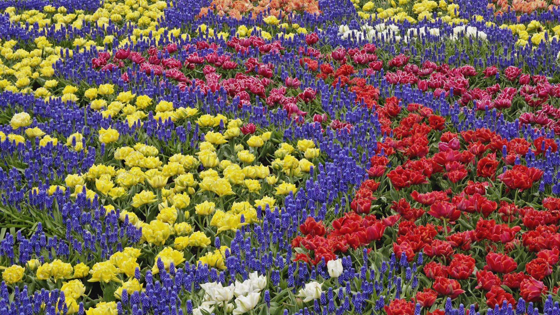 Fondos de pantalla : dibujo, Flores, Tulipanes, campo, Muscari ...