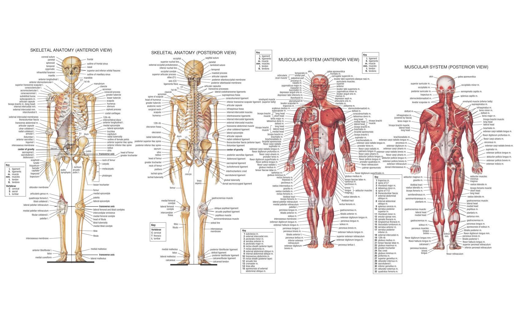 Hintergrundbilder : Zeichnung, Illustration, Muskeln, Skelett ...