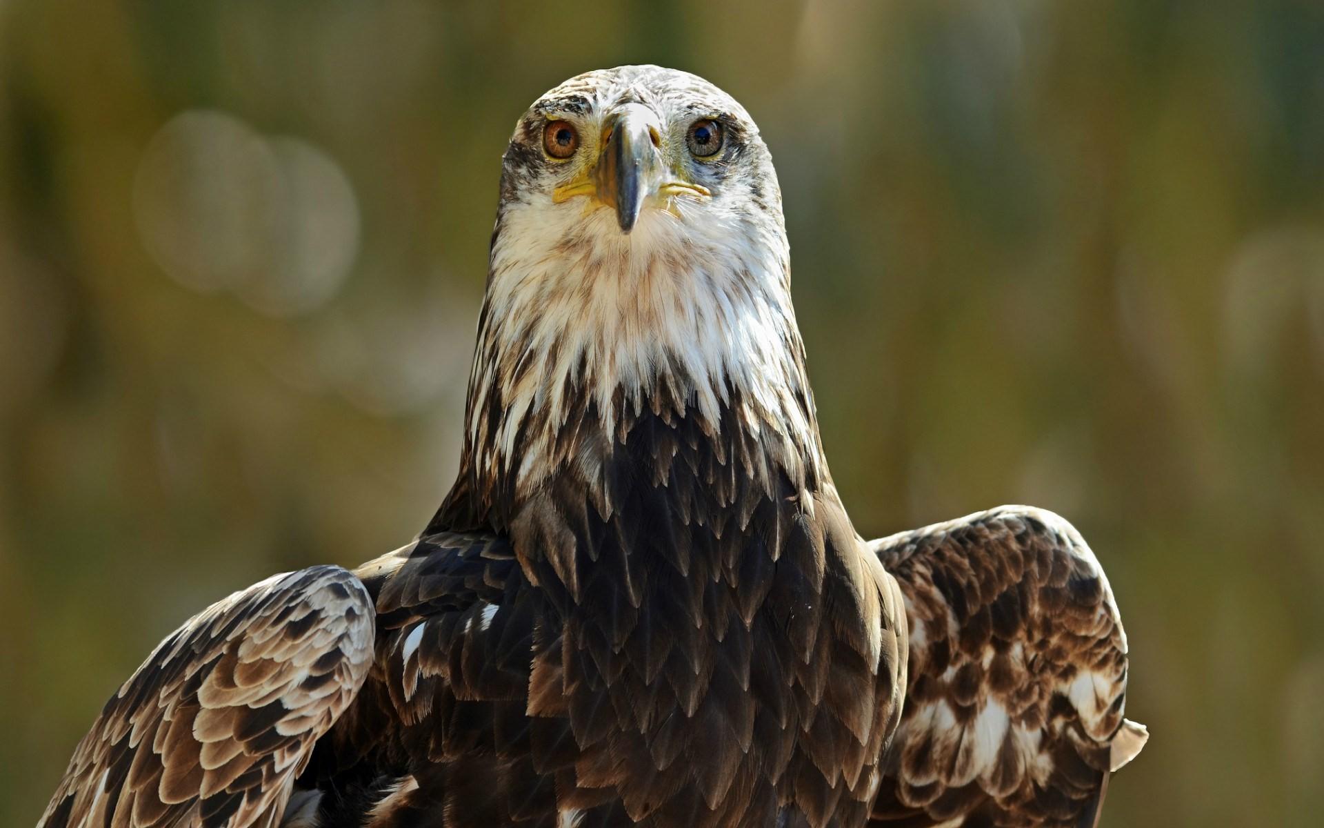 Картинка красивый орел