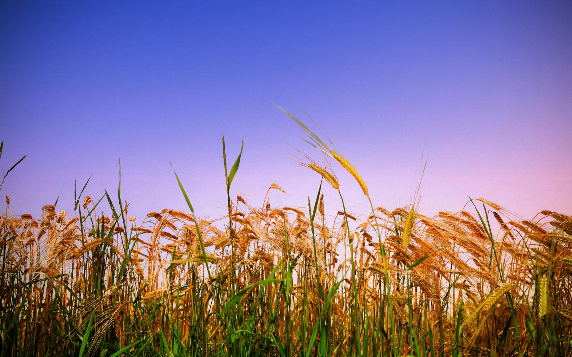 Покупает старинные, картинки с пшеницей и рожью