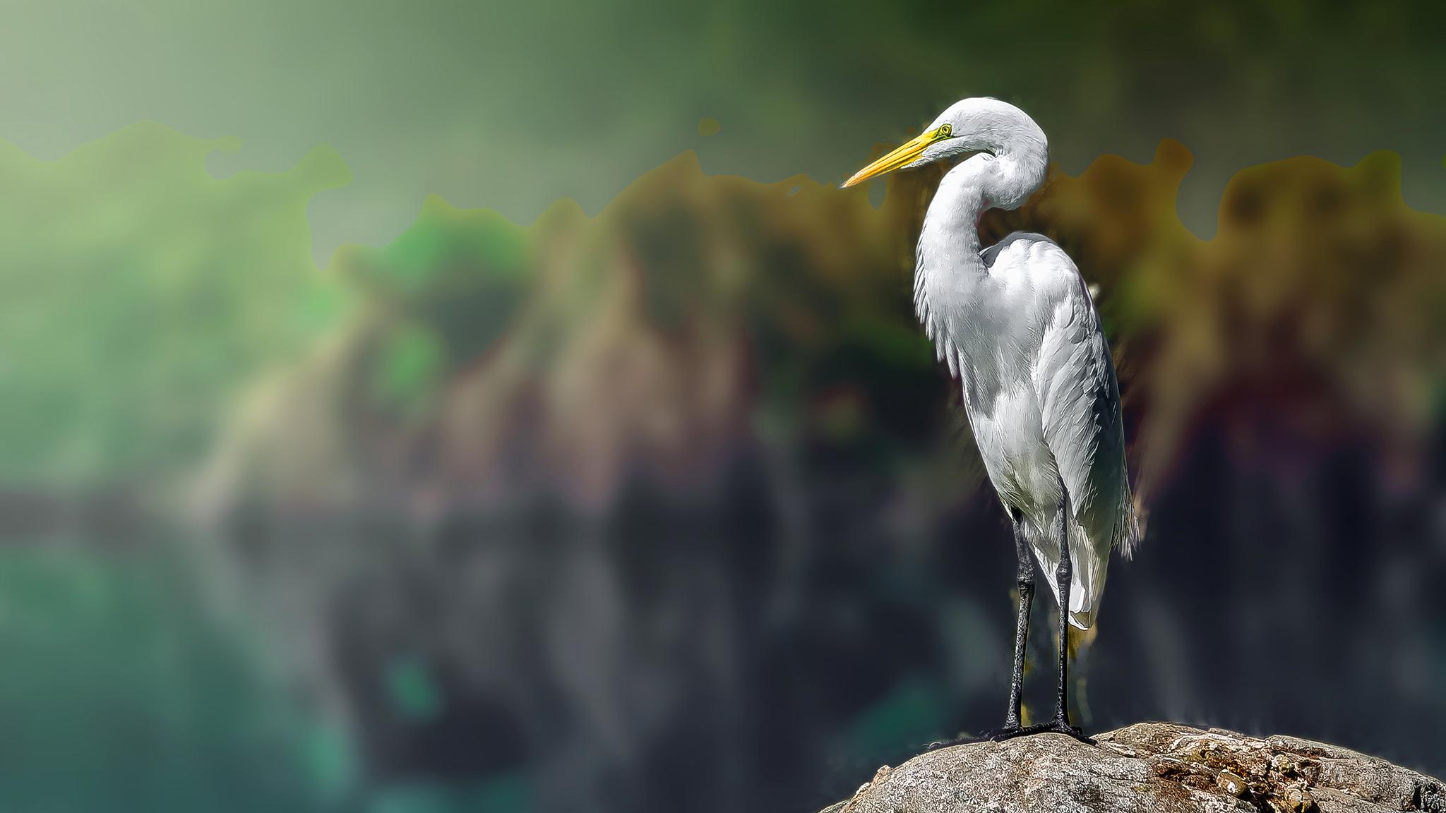 Fond Décran Aigrette Blanc Hérons White Heron